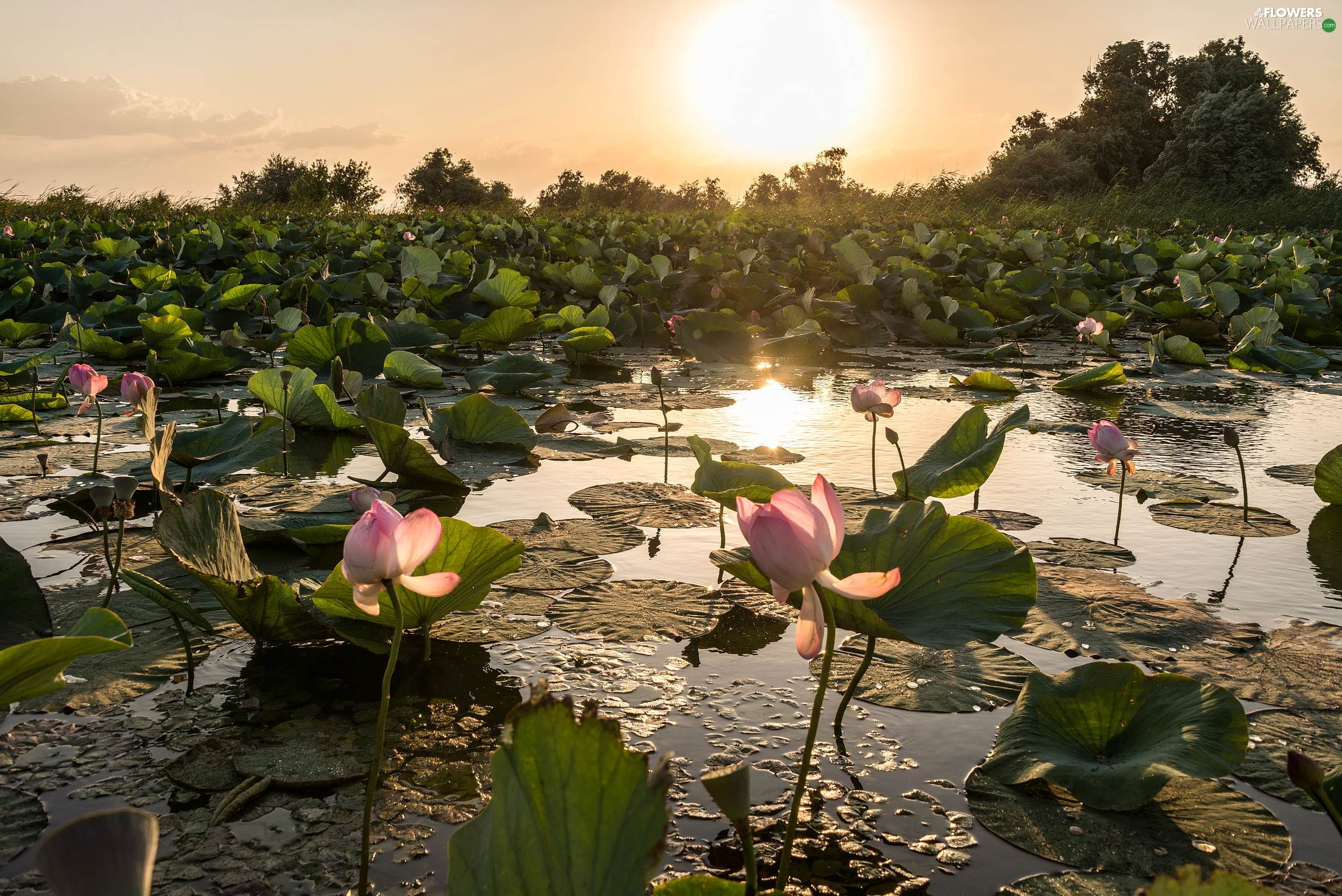Pond - car, lotuses, sun, Flowers