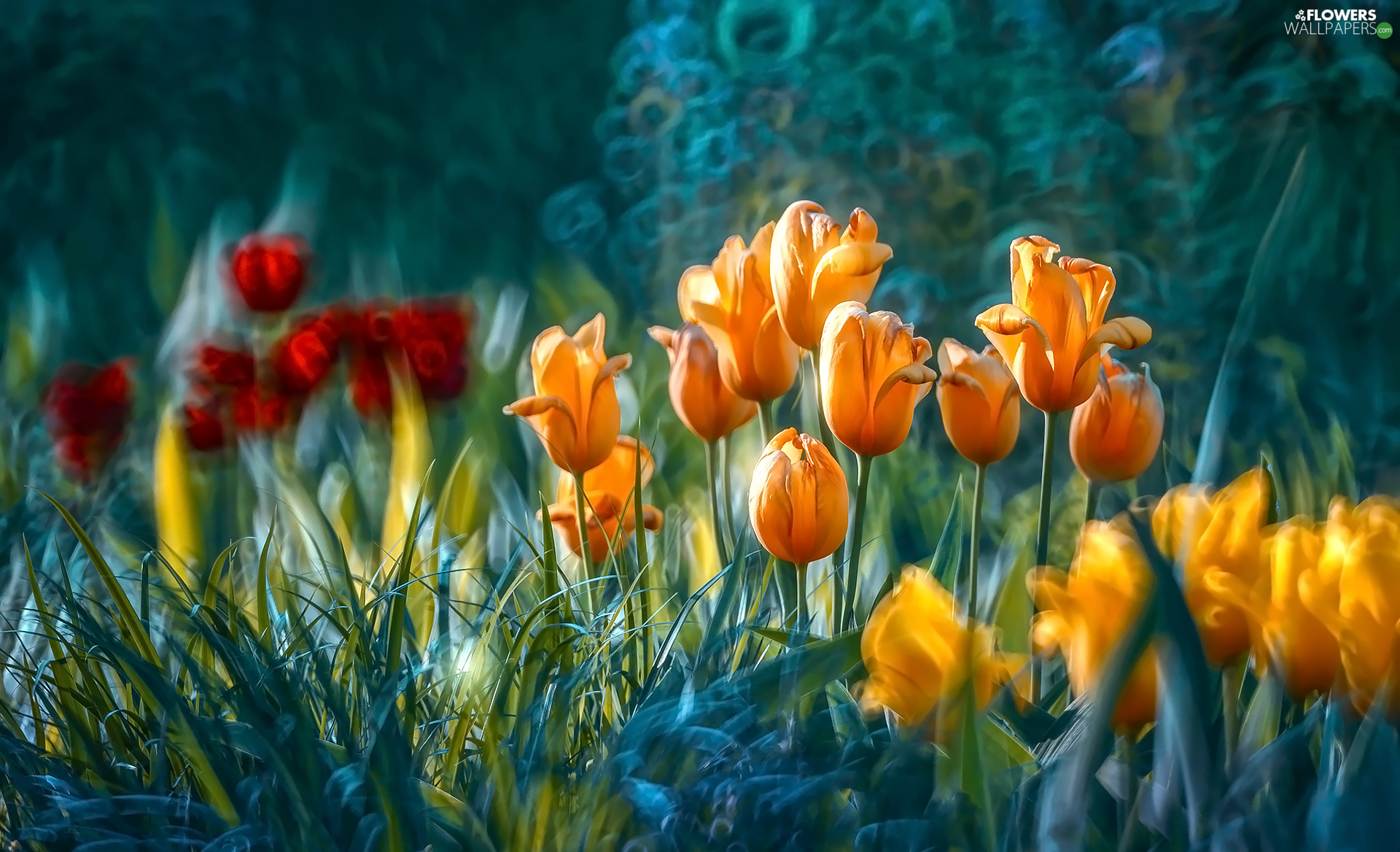 Flowers, Tulips, blur, color