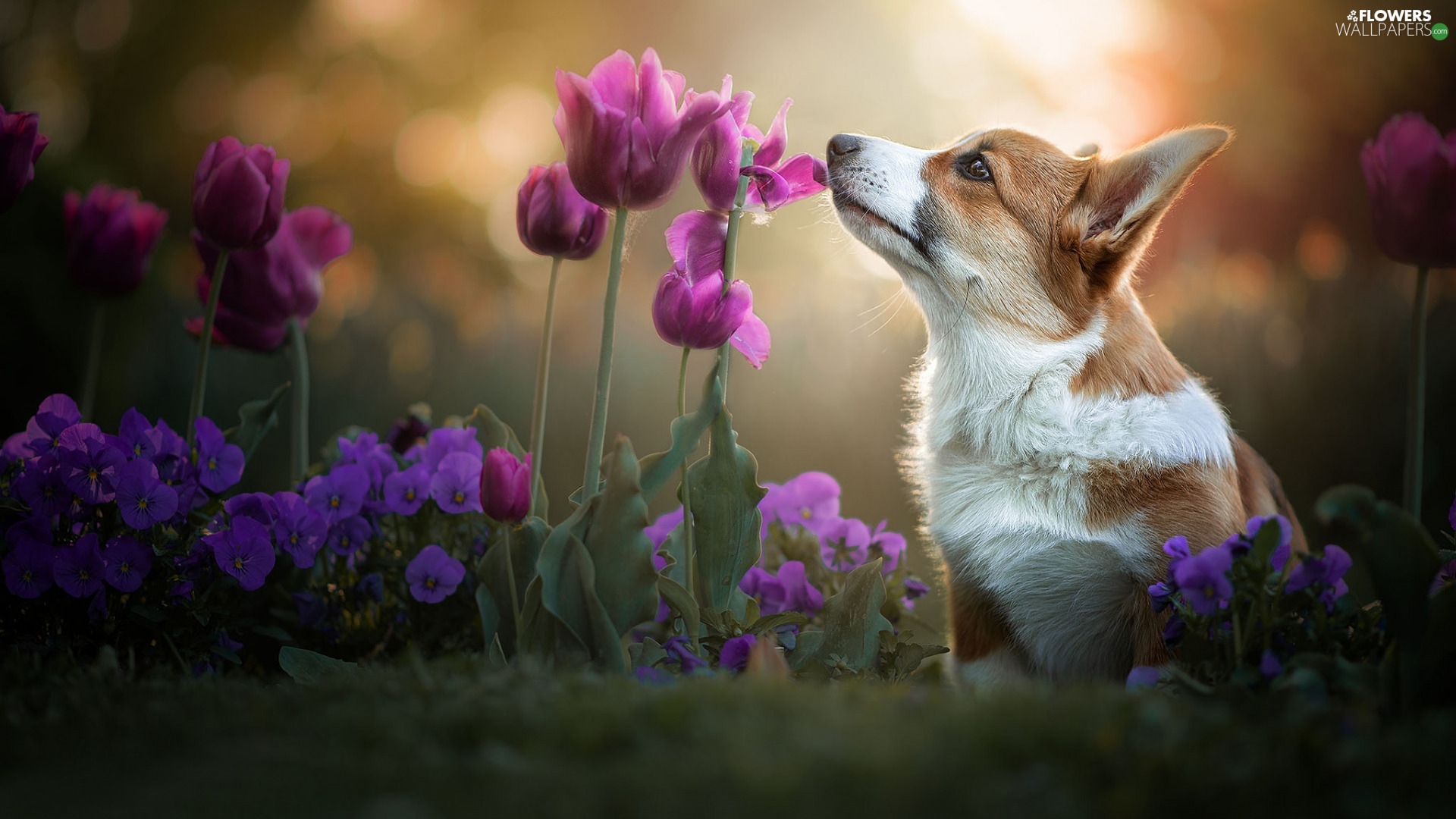 Tulips, pansies, Welsh corgi pembroke, Flowers, dog