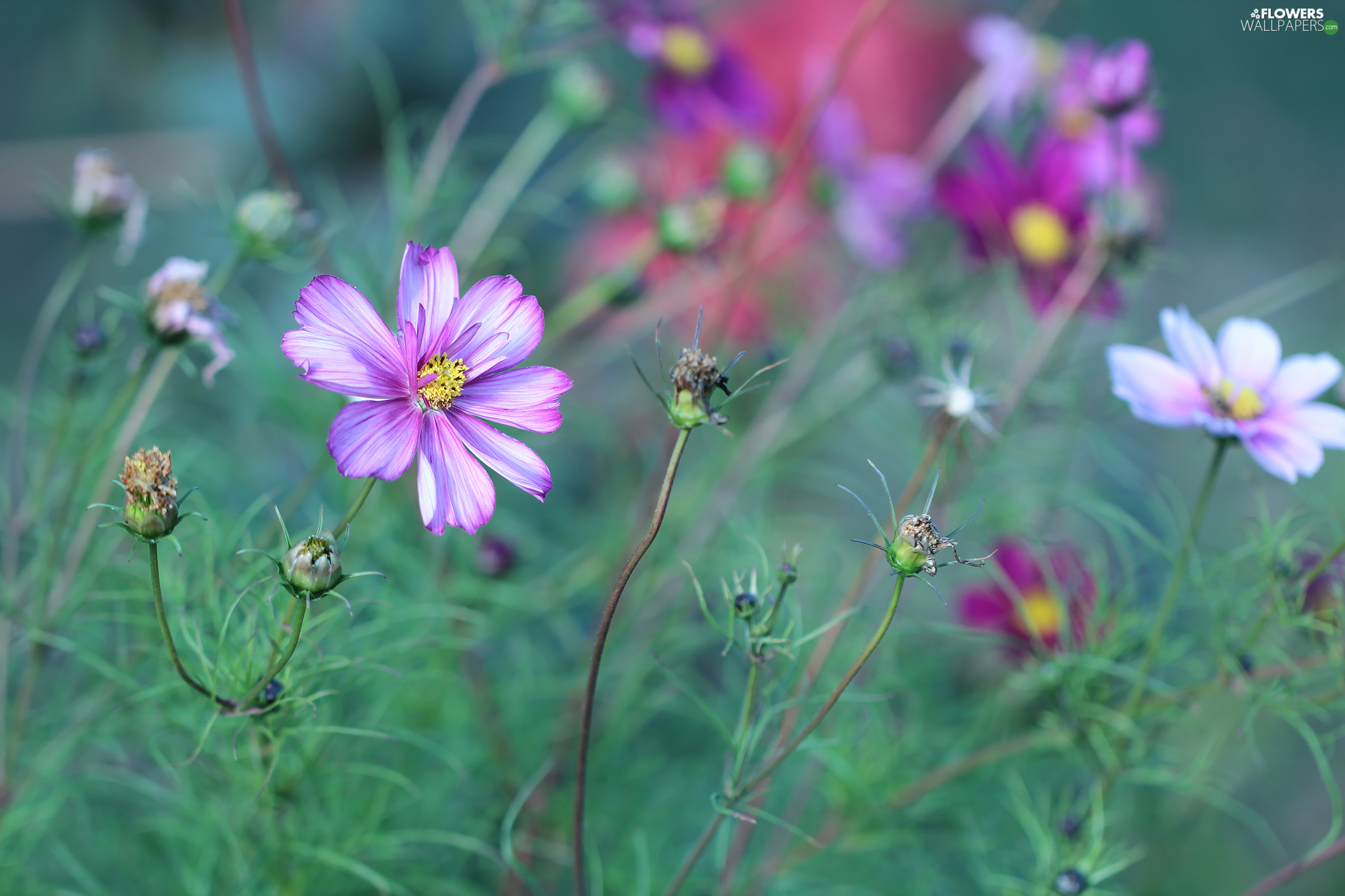 Colourfull Flowers, Pink, Cosmos