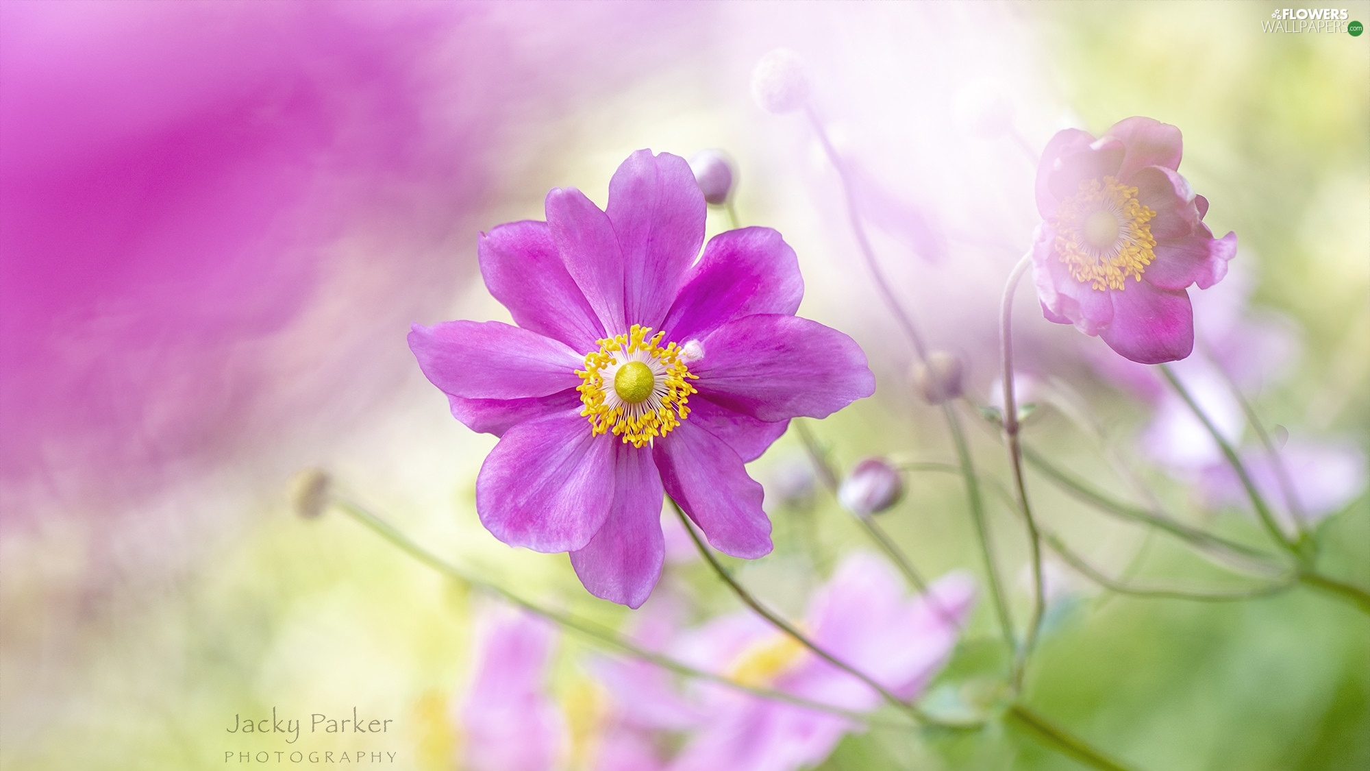 rapprochement, Colourfull Flowers, Cosmos