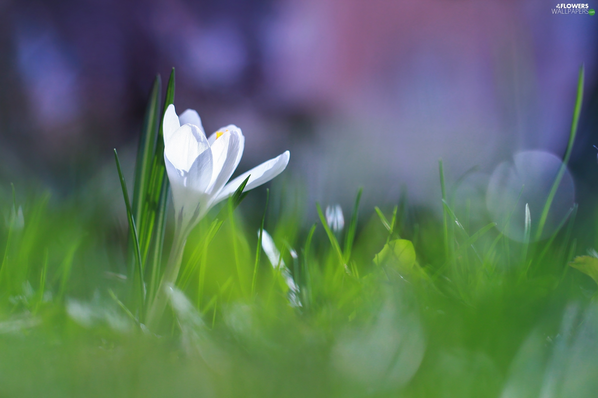 crocus, illuminated, White