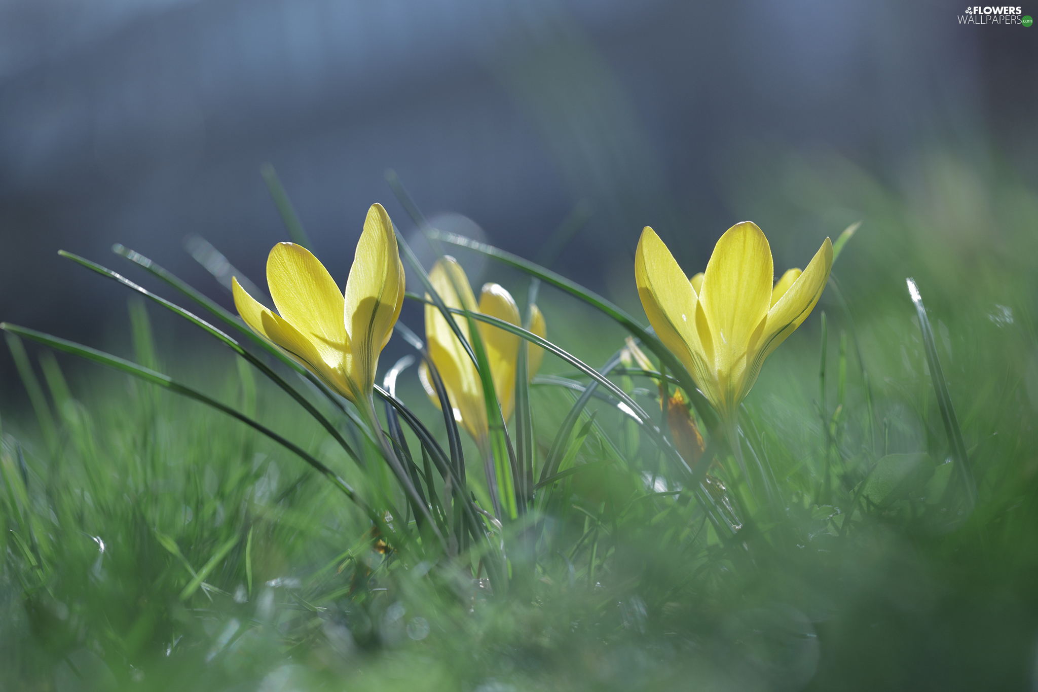 crocuses, Yellow, illuminated