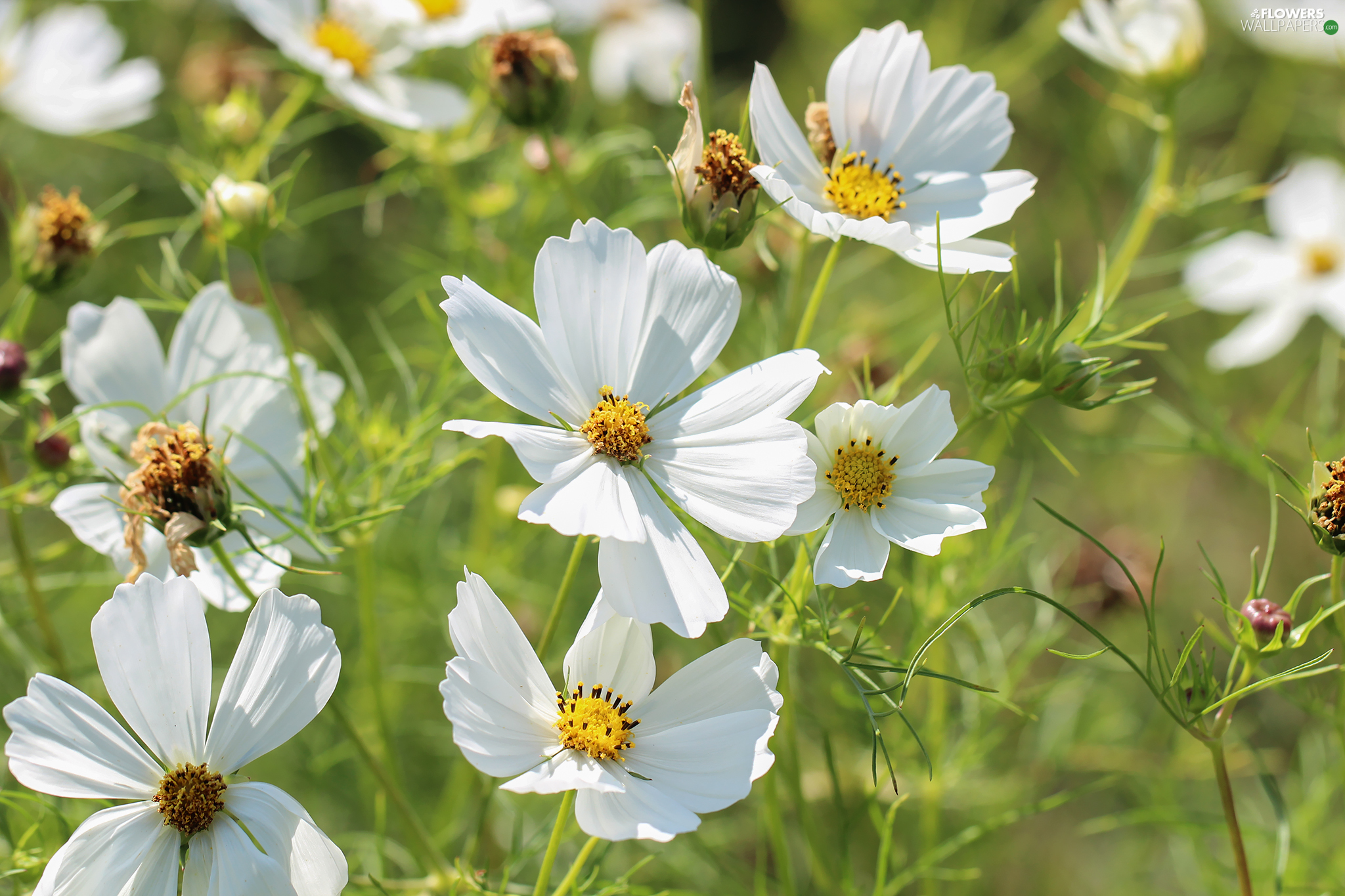 Cosmos, White, Flowers, developed