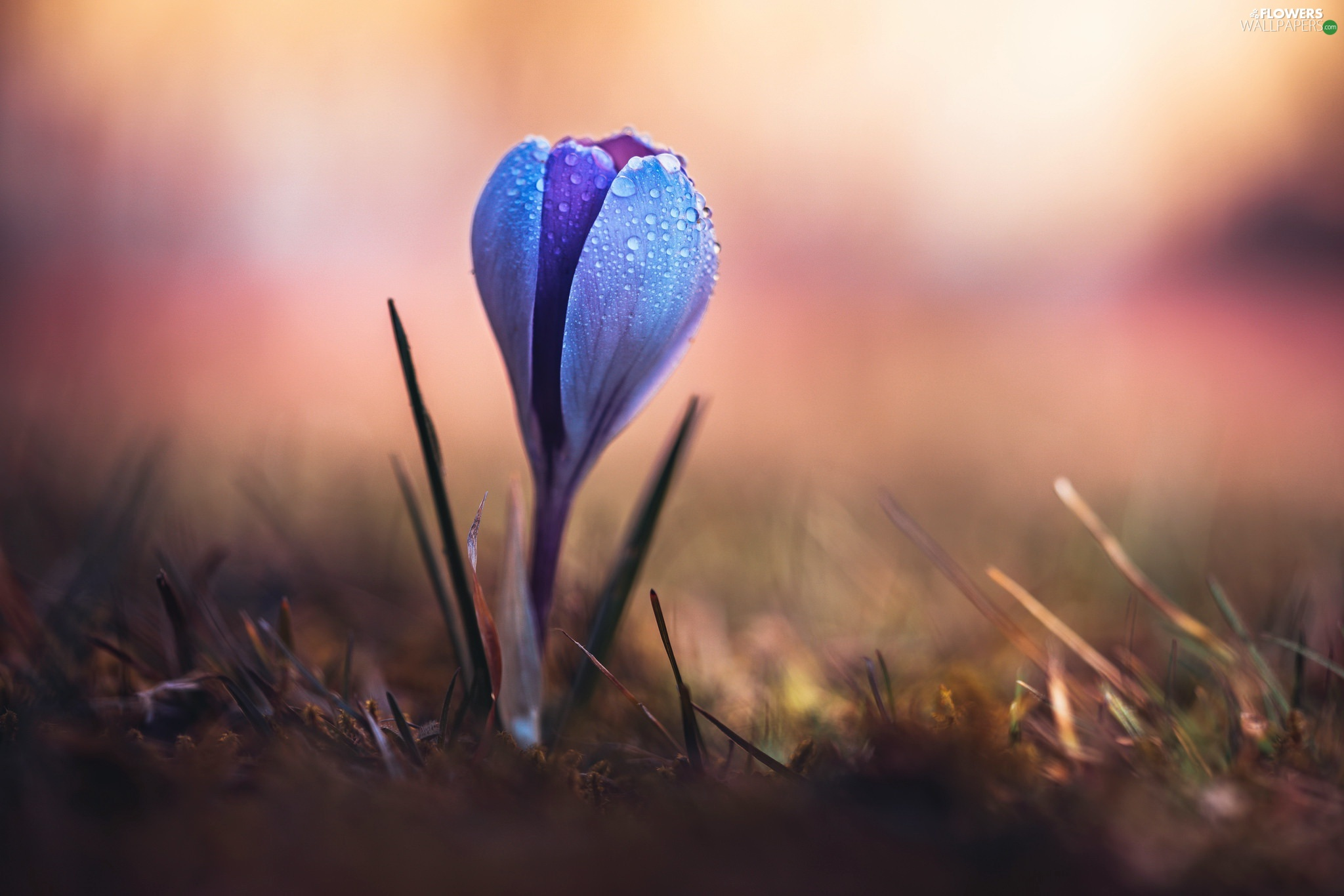 blurry background, crocus, drops