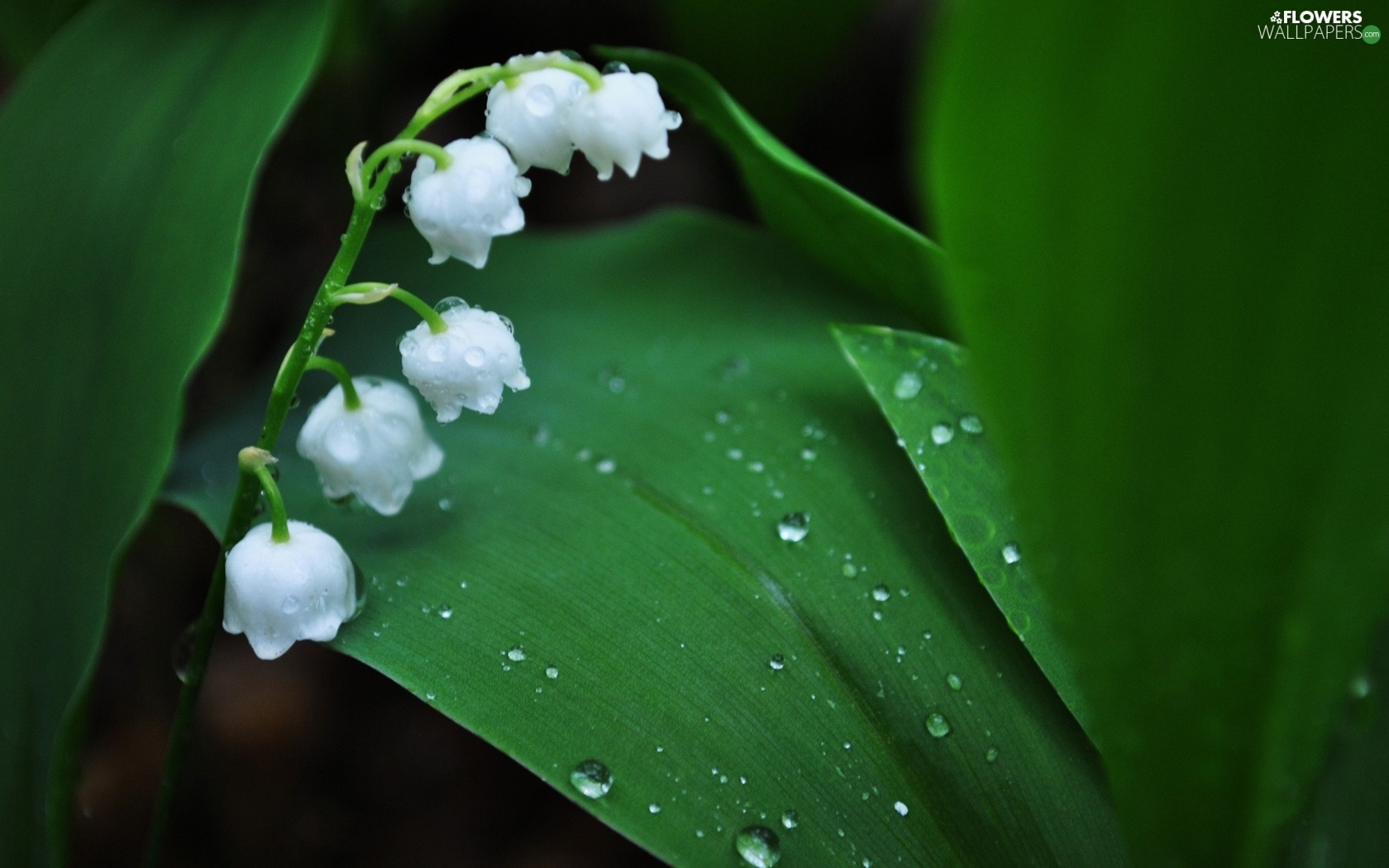 water, lily of the valley, flowers, drops, white - flowers