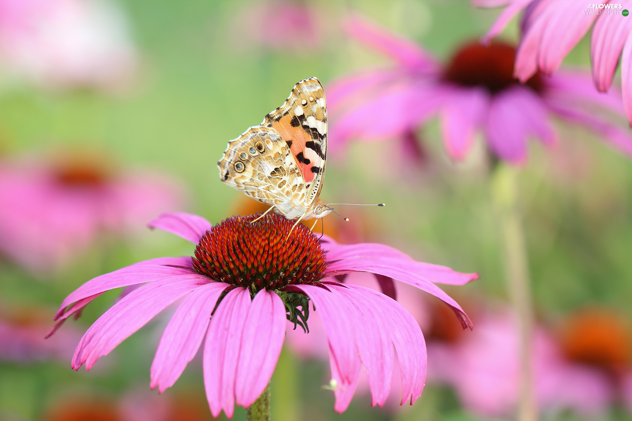 butterfly, Colourfull Flowers, echinacea, Painted Lady