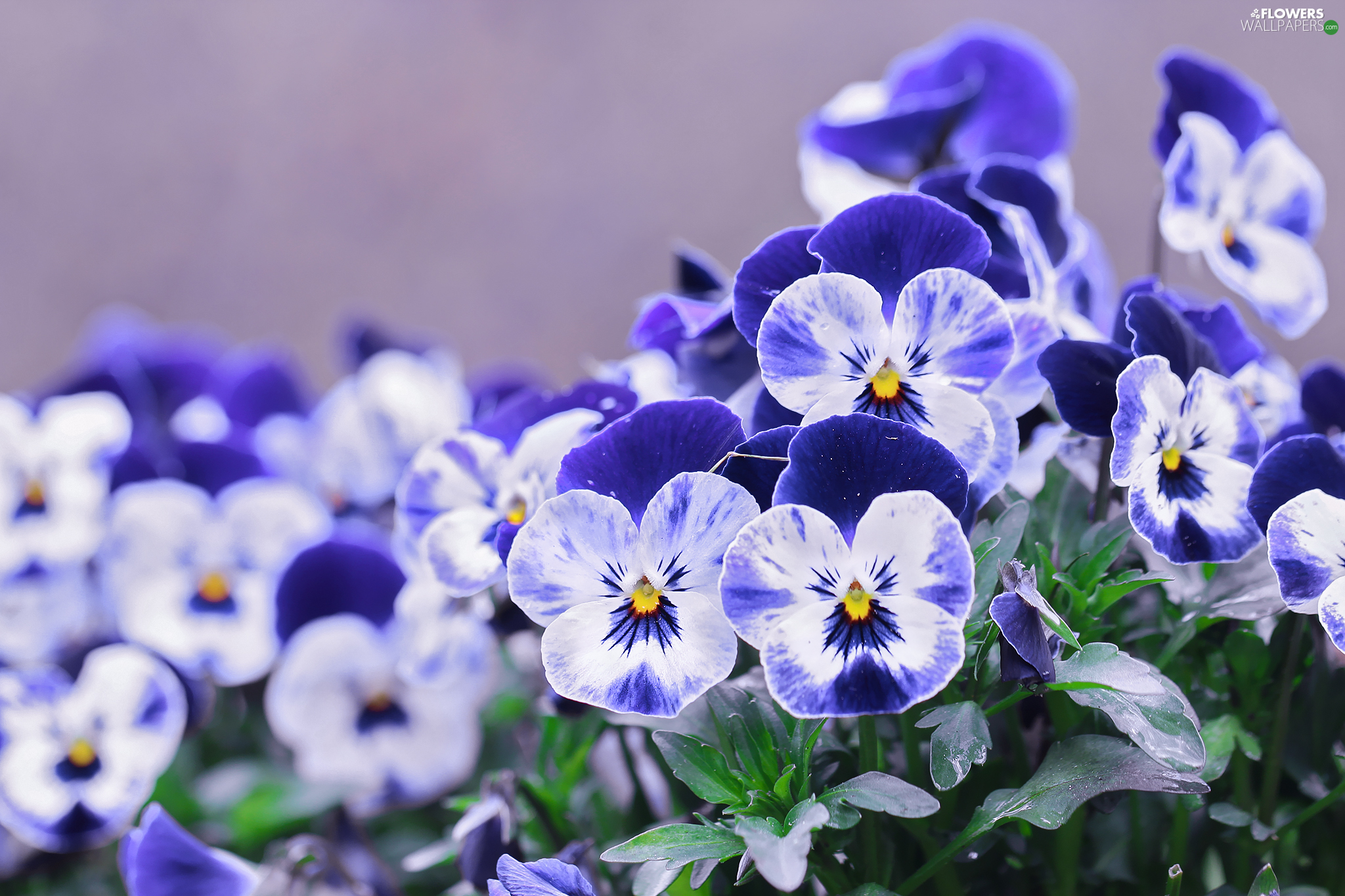 blue, pansies, Flowers, White