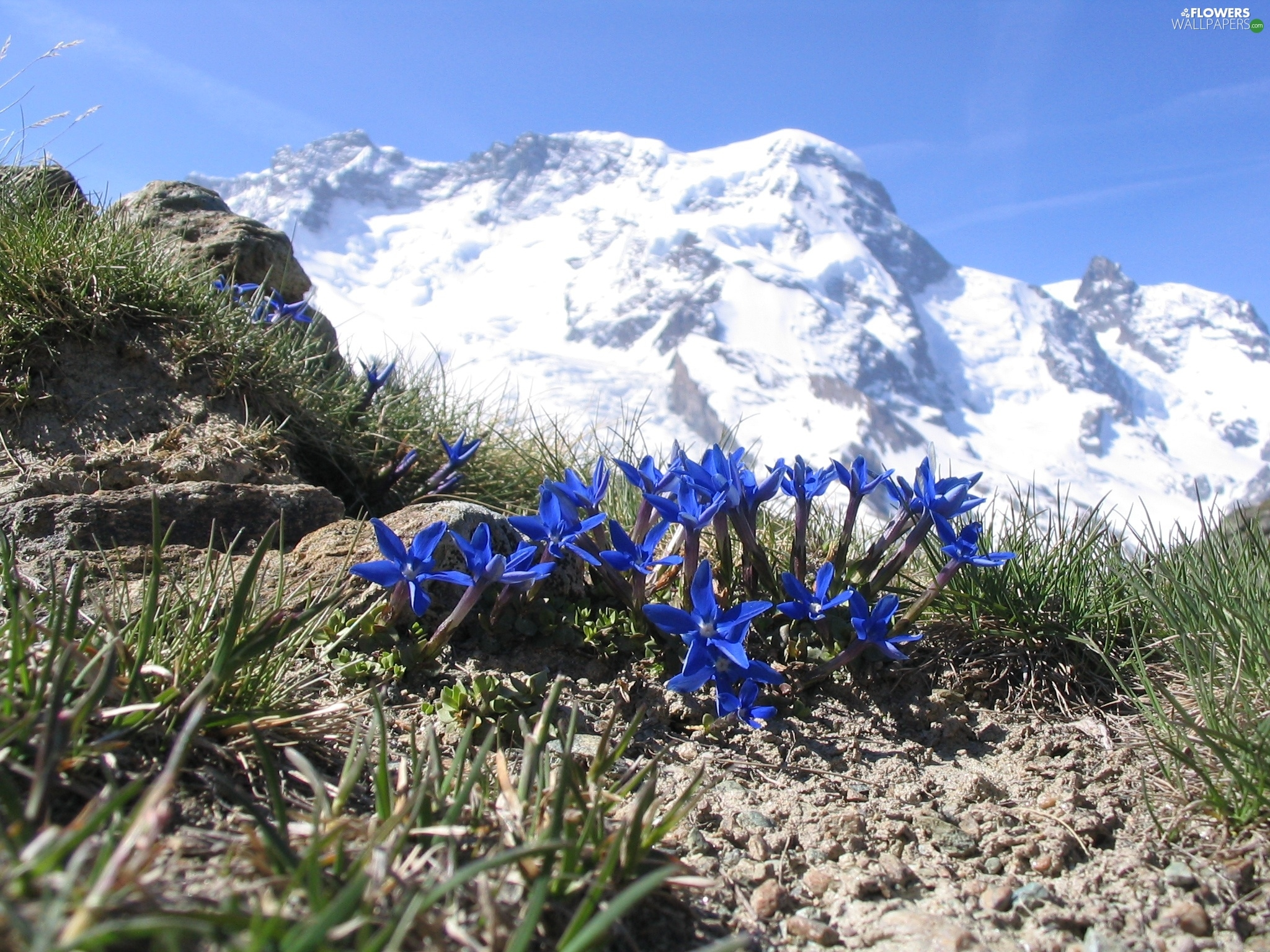 Alpine Gentian, Mountains, Flowers