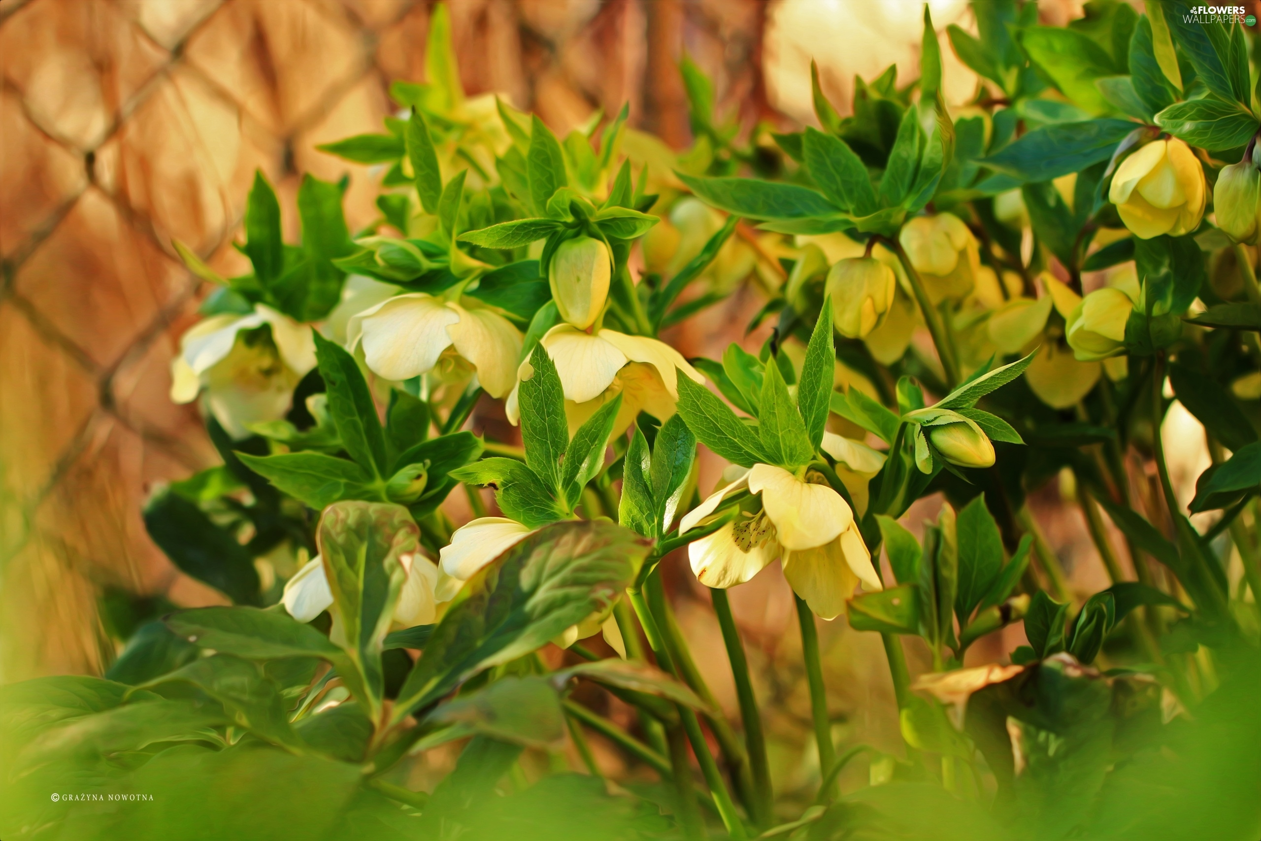 Flowers, Yellow, Helleborus