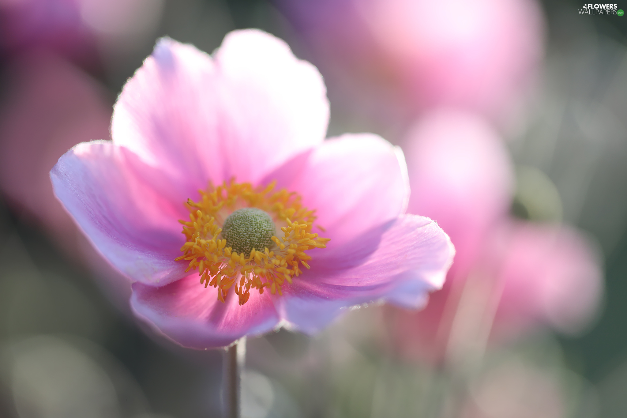 Japanese anemone, Colourfull Flowers, rapprochement, Pink
