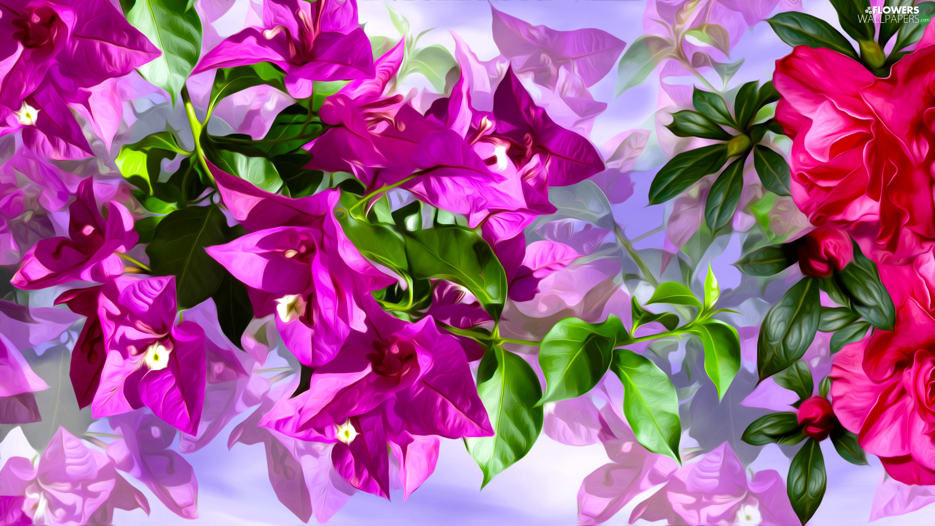 Pink, Bougainvillea, graphics, Flowers