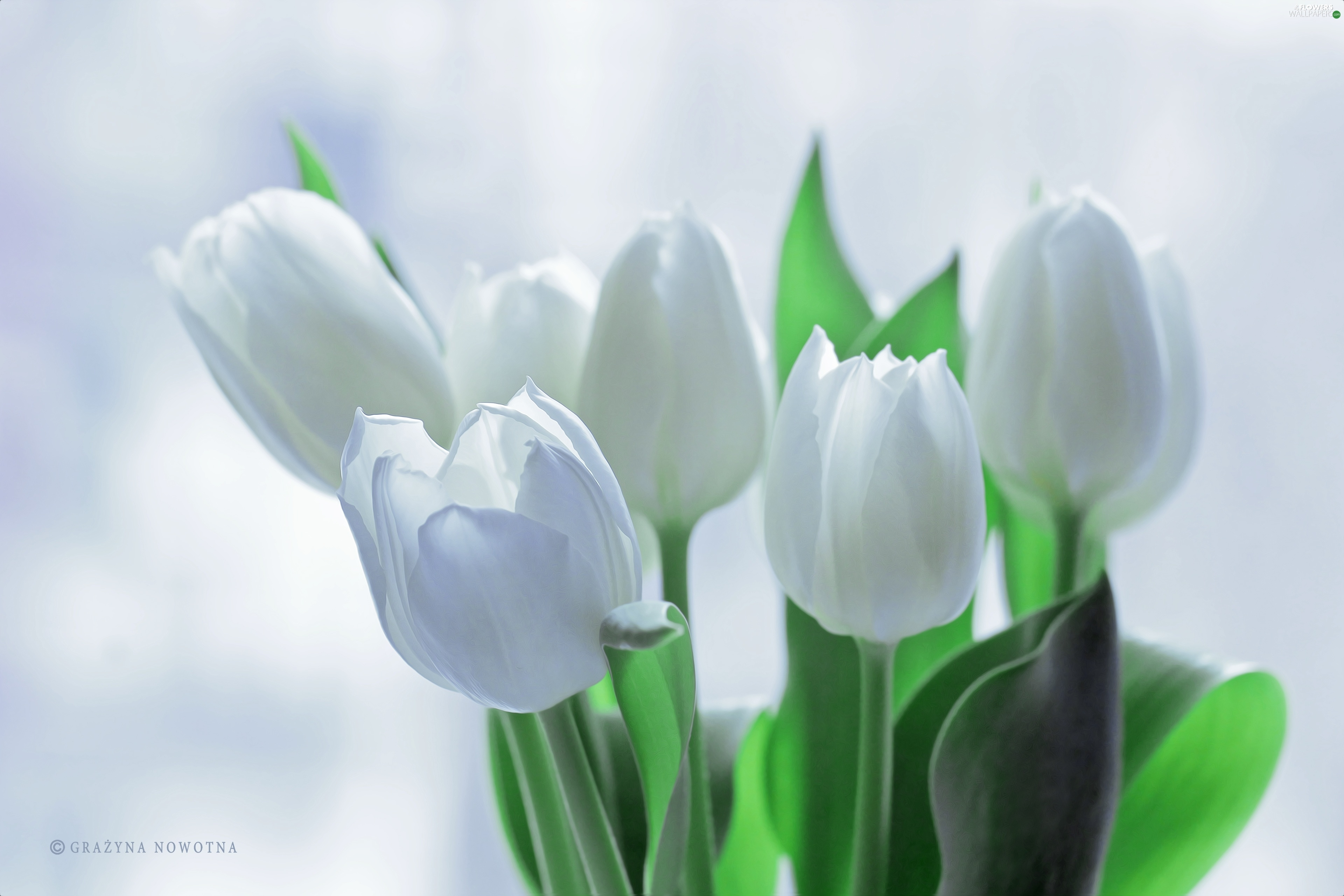 Flowers White Tulips Flowers Wallpapers 3840x2560
