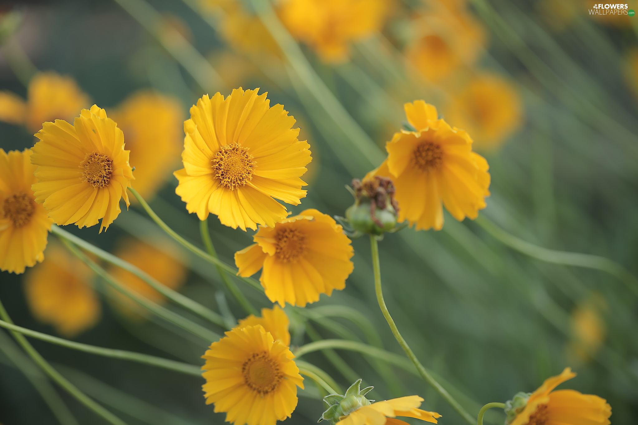 Flowers, Calliopsis, Yellow