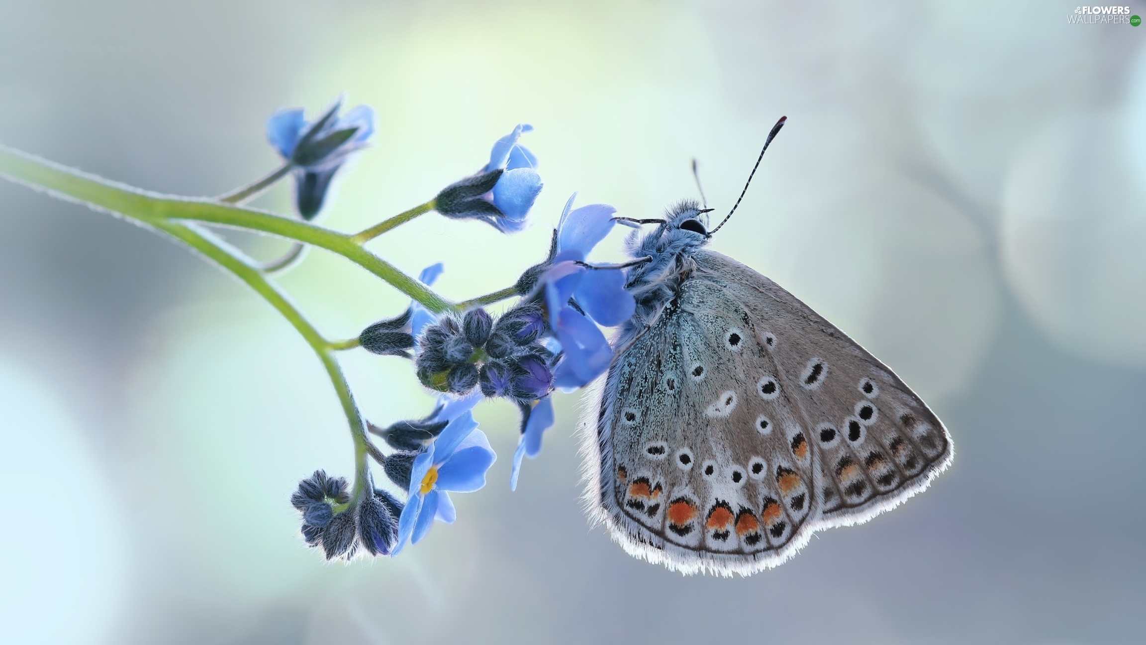 forget-me-not, Close, Dusky Icarus, Colourfull Flowers, butterfly