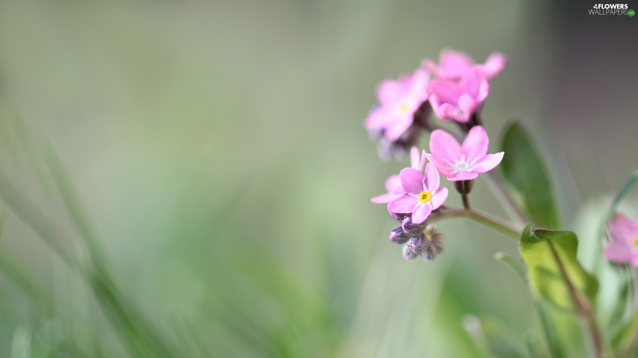 Colourfull Flowers, Pink, forget-me-not
