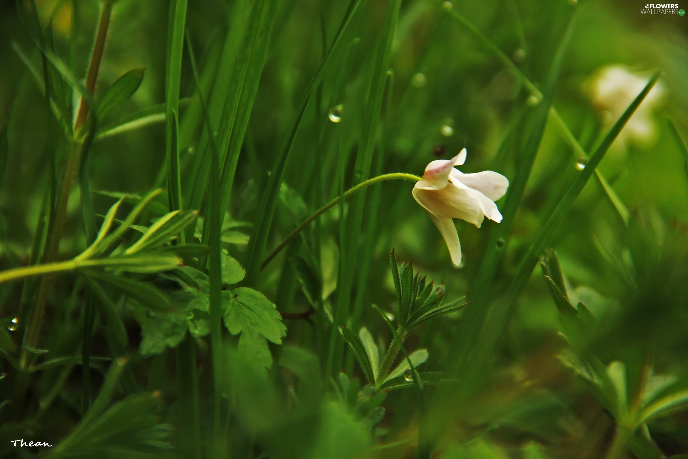 Anemone Colourfull Flowers Grass White Flowers Wallpapers