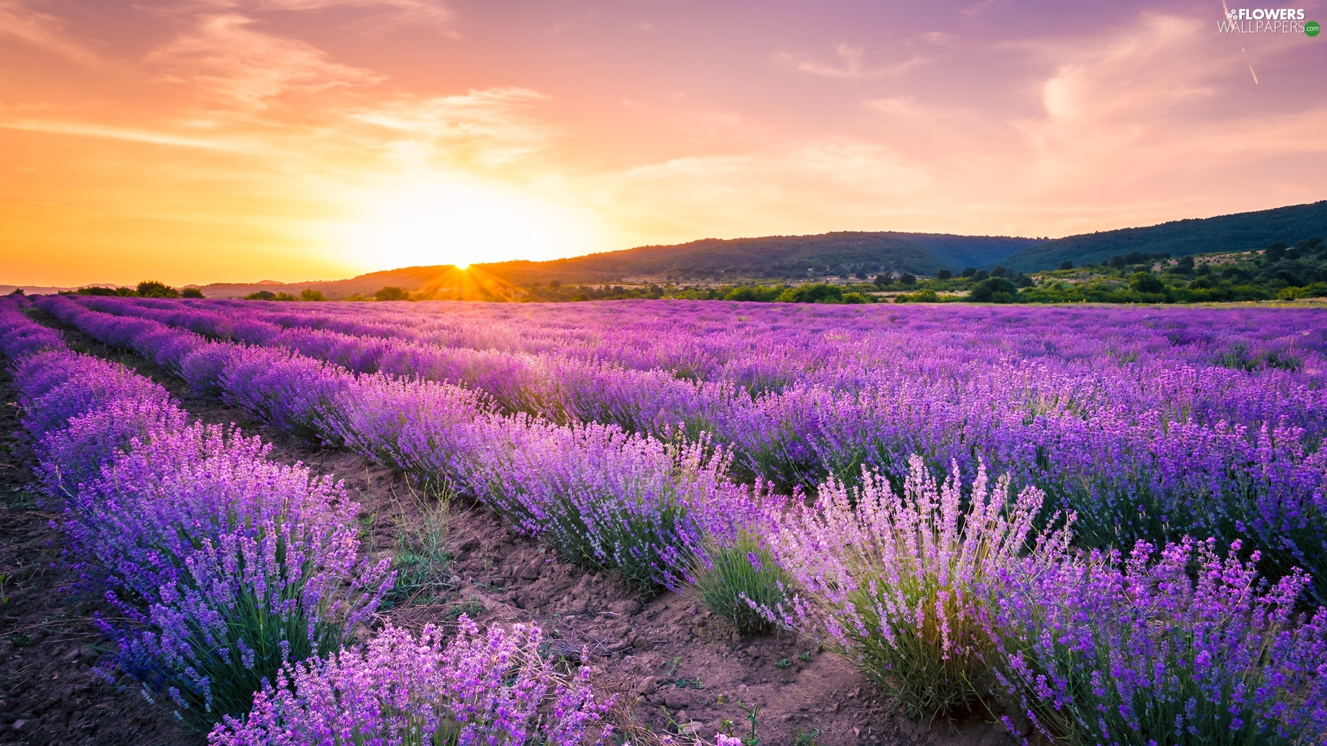 trees, Field, The Hills, Sunrise, viewes, lavender