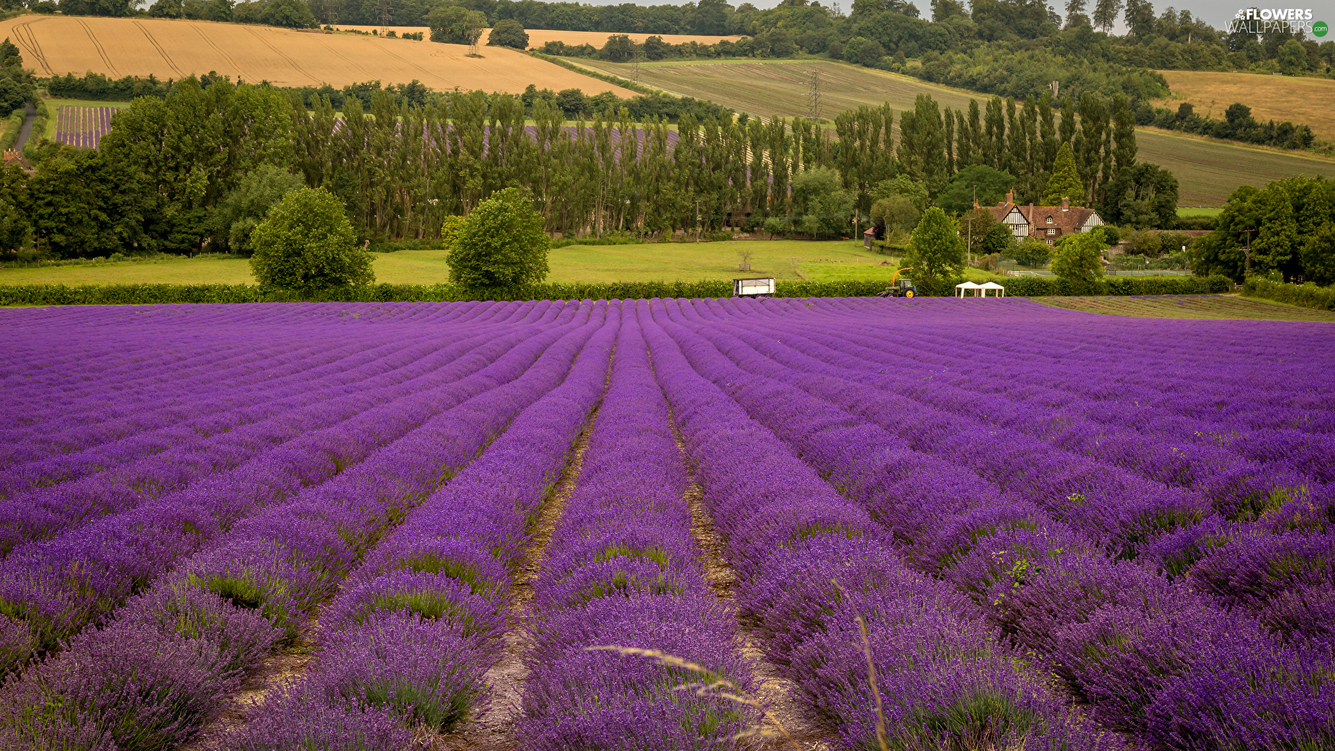 viewes, Houses, lavender, trees, field