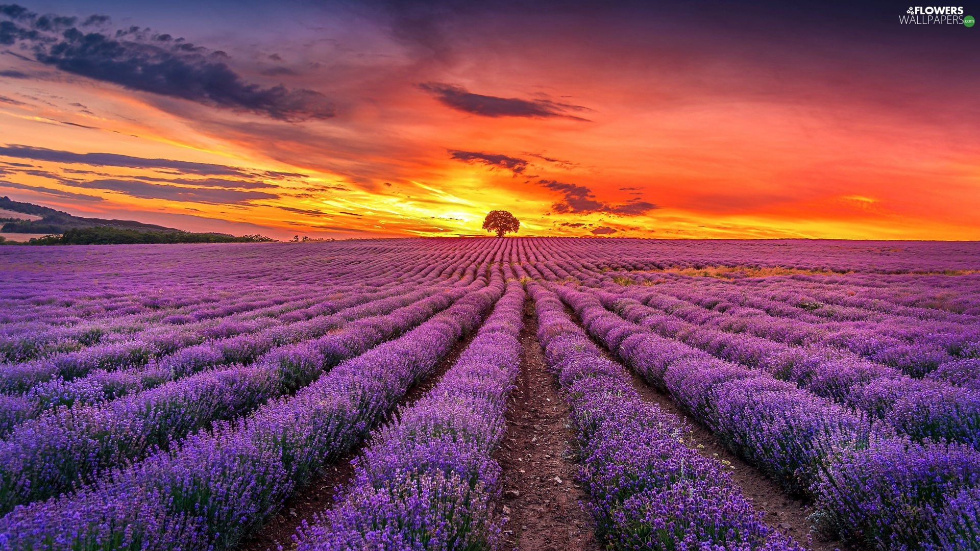 Great Sunsets, clouds, lavender, trees, Field