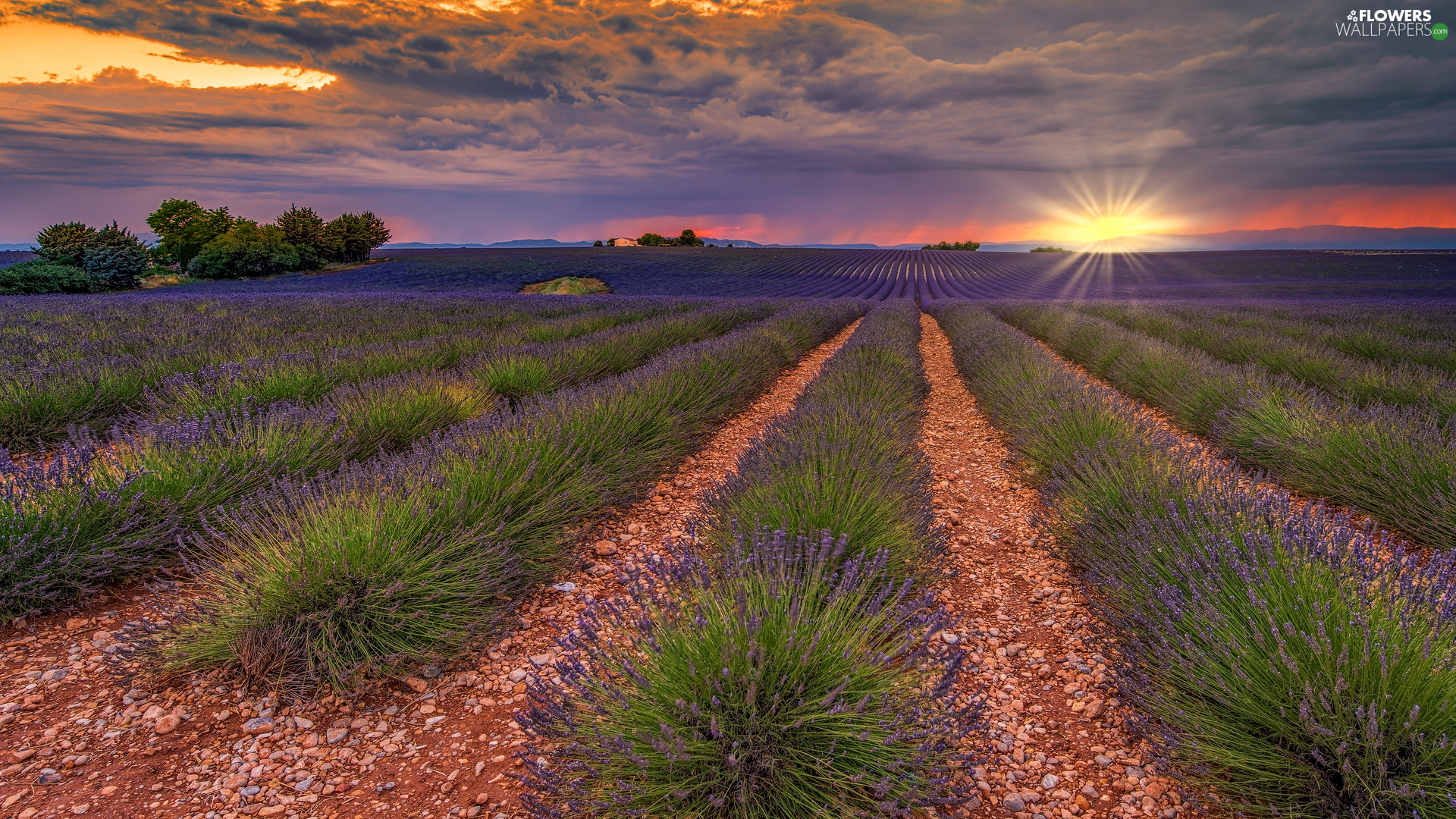 lavender, plantation, Field, trees, Provence, France, Great Sunsets, Valensole, viewes