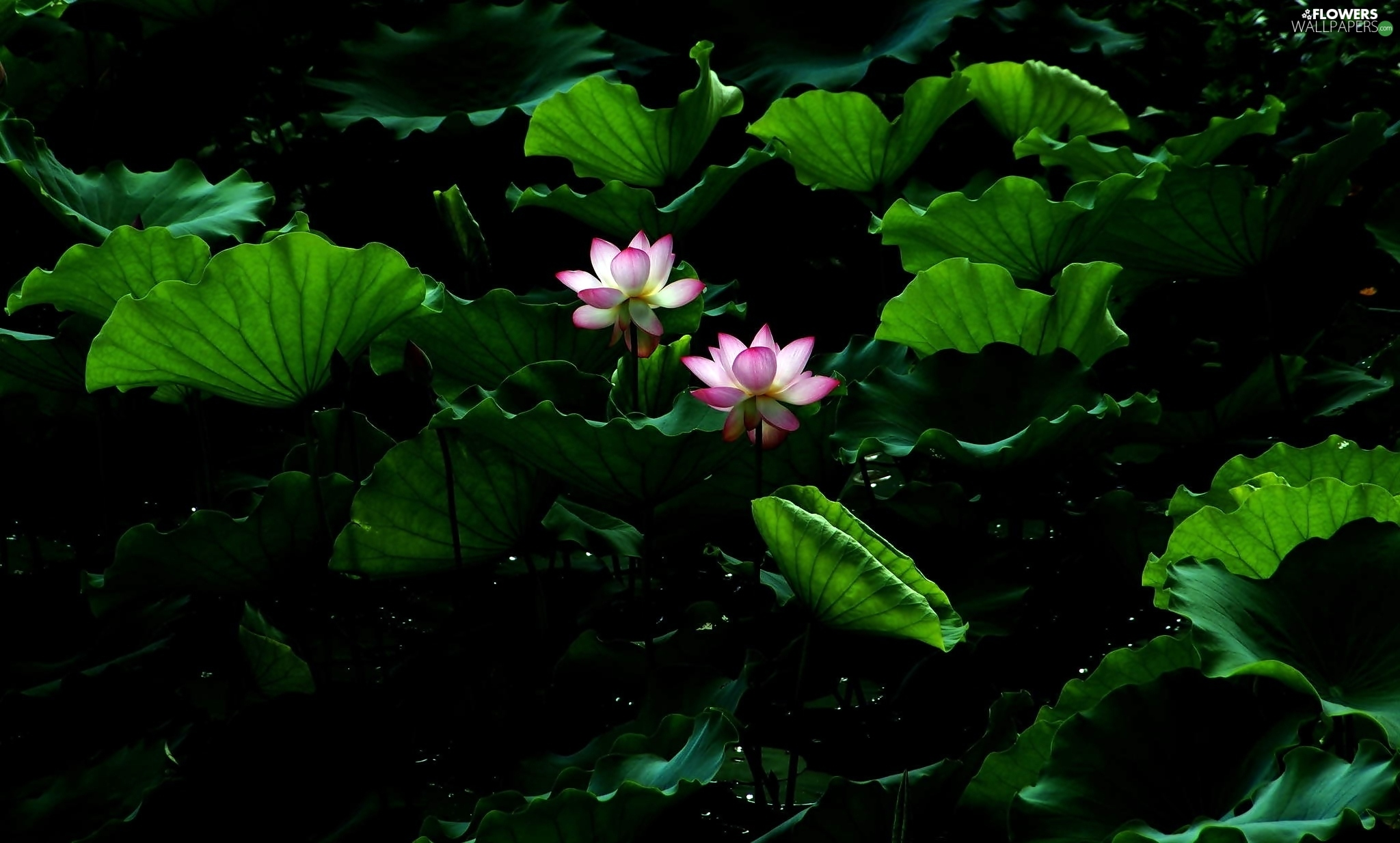 leaves, Flowers, lotus