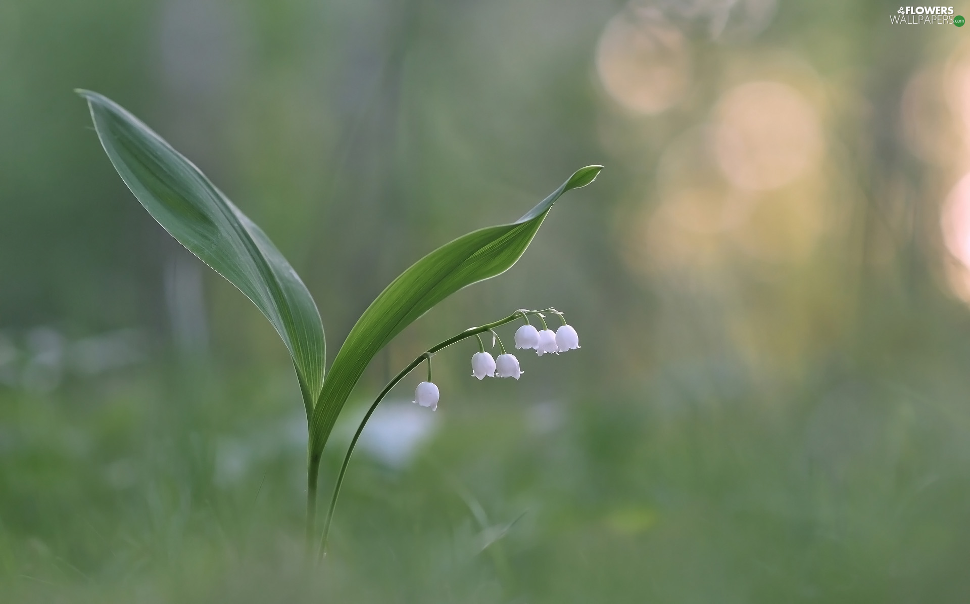 Leaf, Colourfull Flowers, lily of the Valley