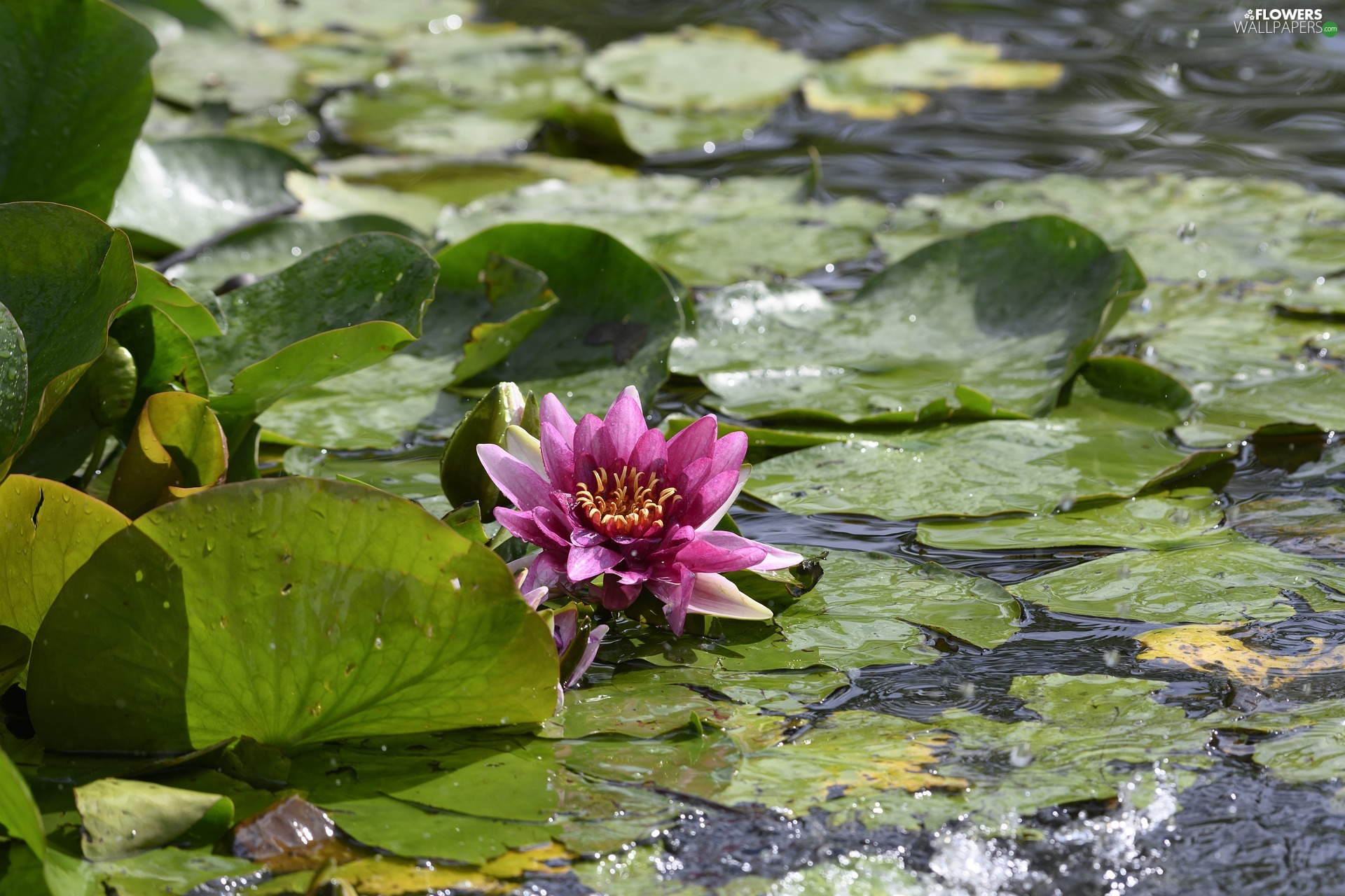 Colourfull Flowers, water-lily, Leaf, Pink