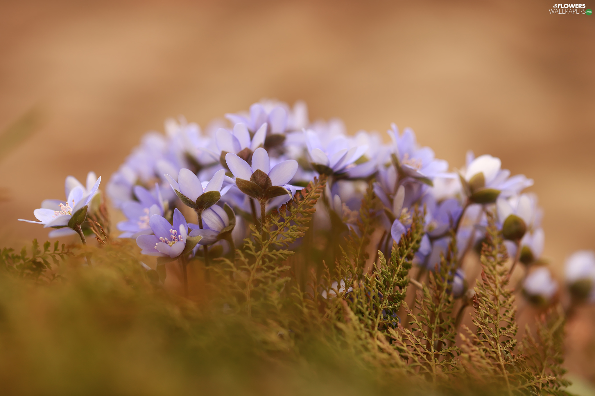 cluster, lilac, Flowers, Liverworts