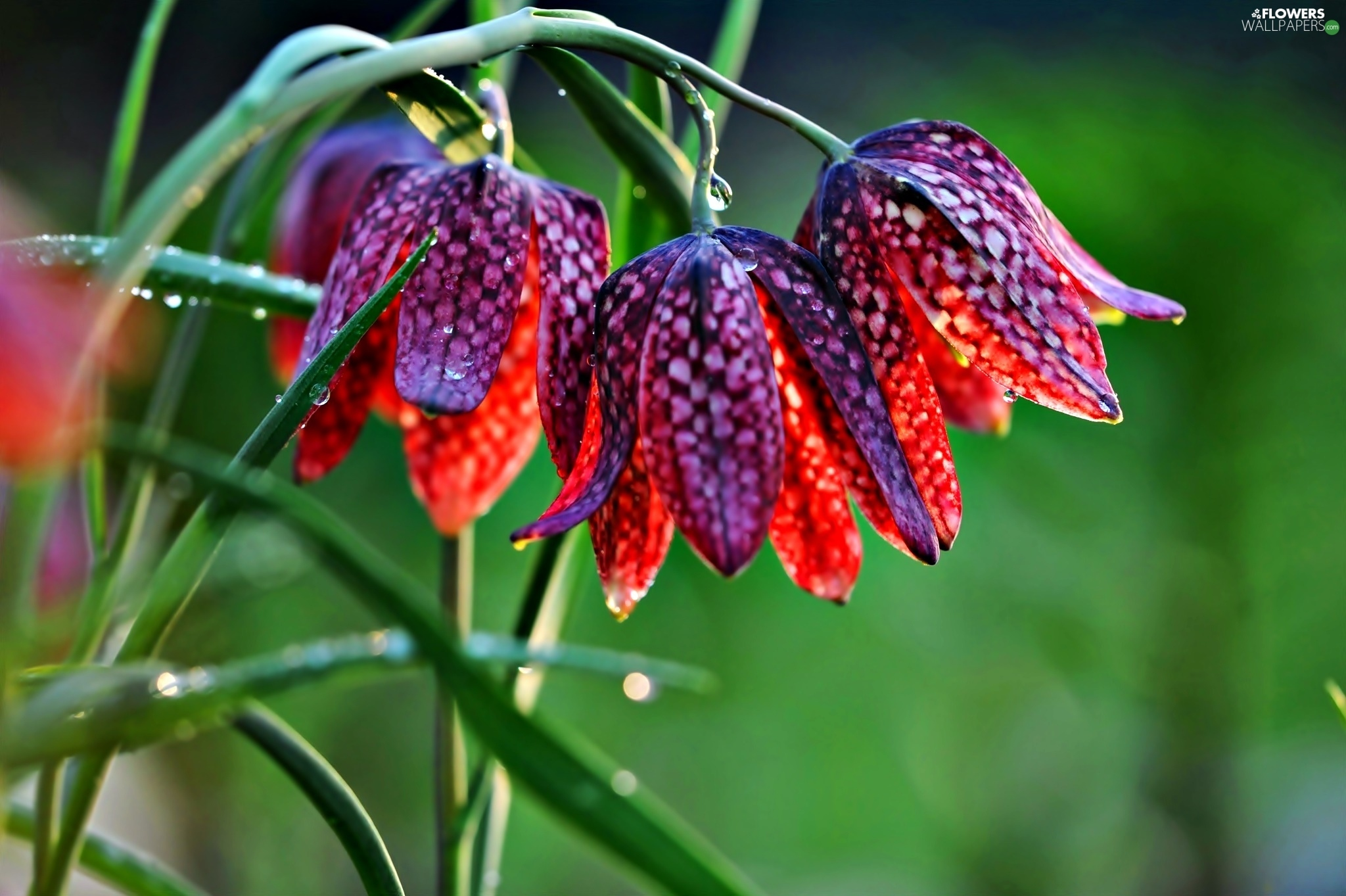 flash, ligh, drops, sun, Fritillaria meleagris, luminosity, dew