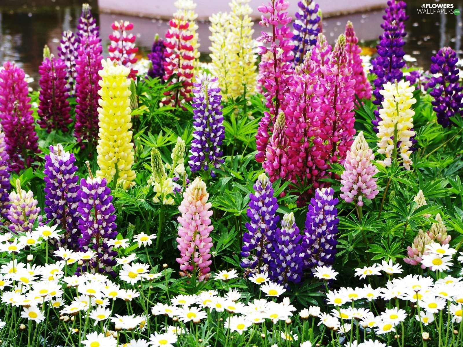Lupin, color, Flowers