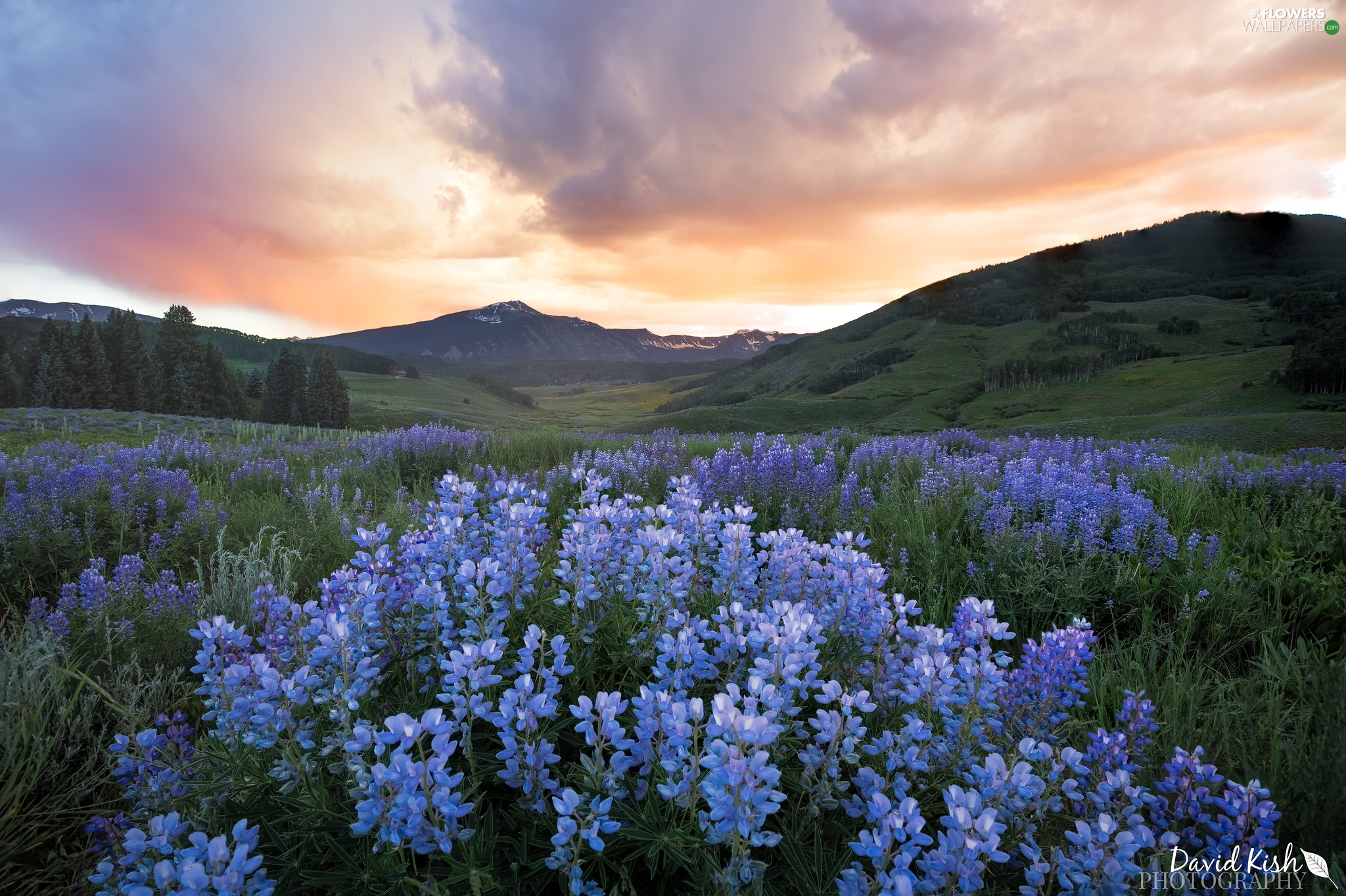 Mountains, Meadow, lupine, The Hills