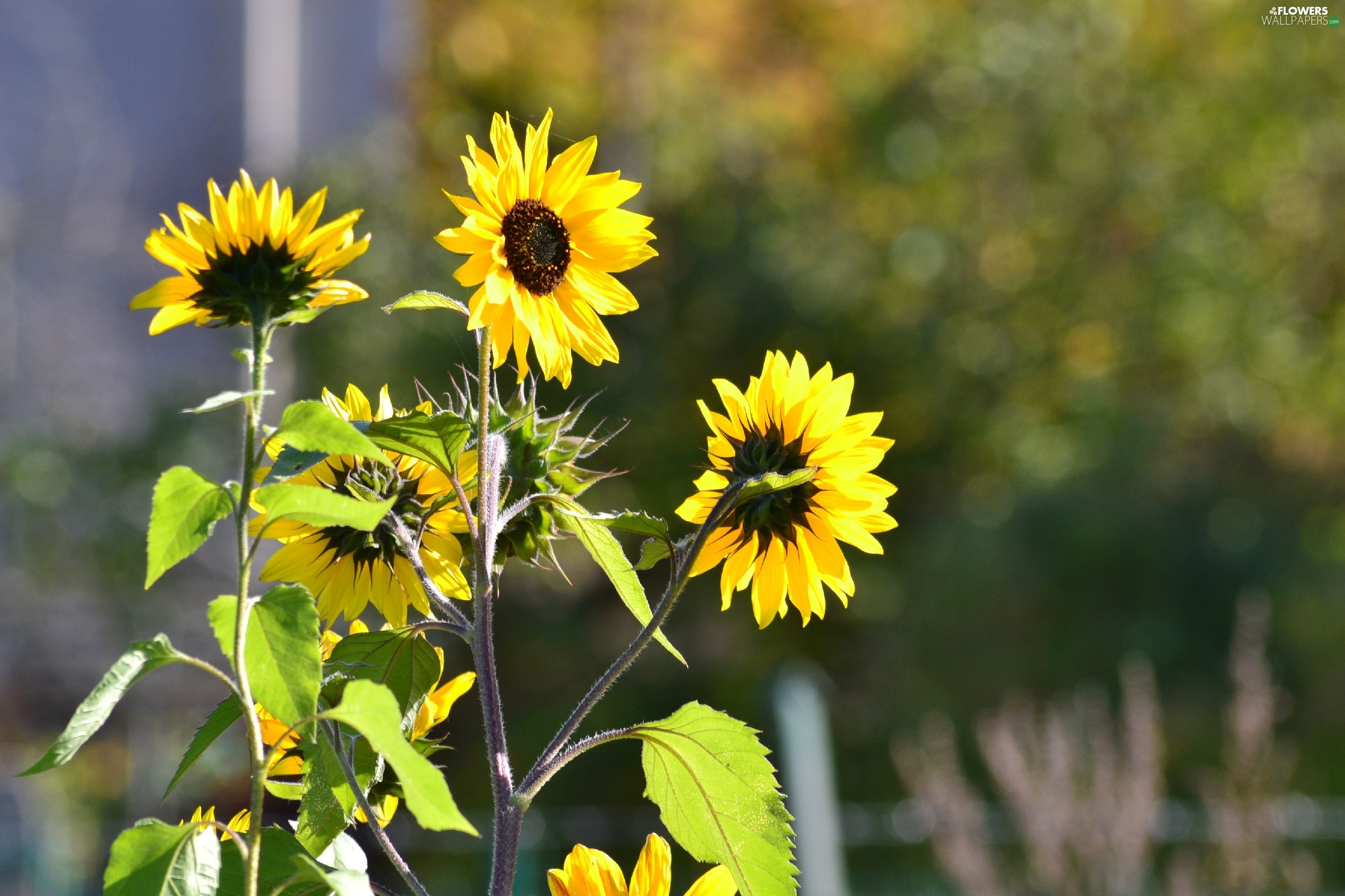 Nice sunflowers, ornamental