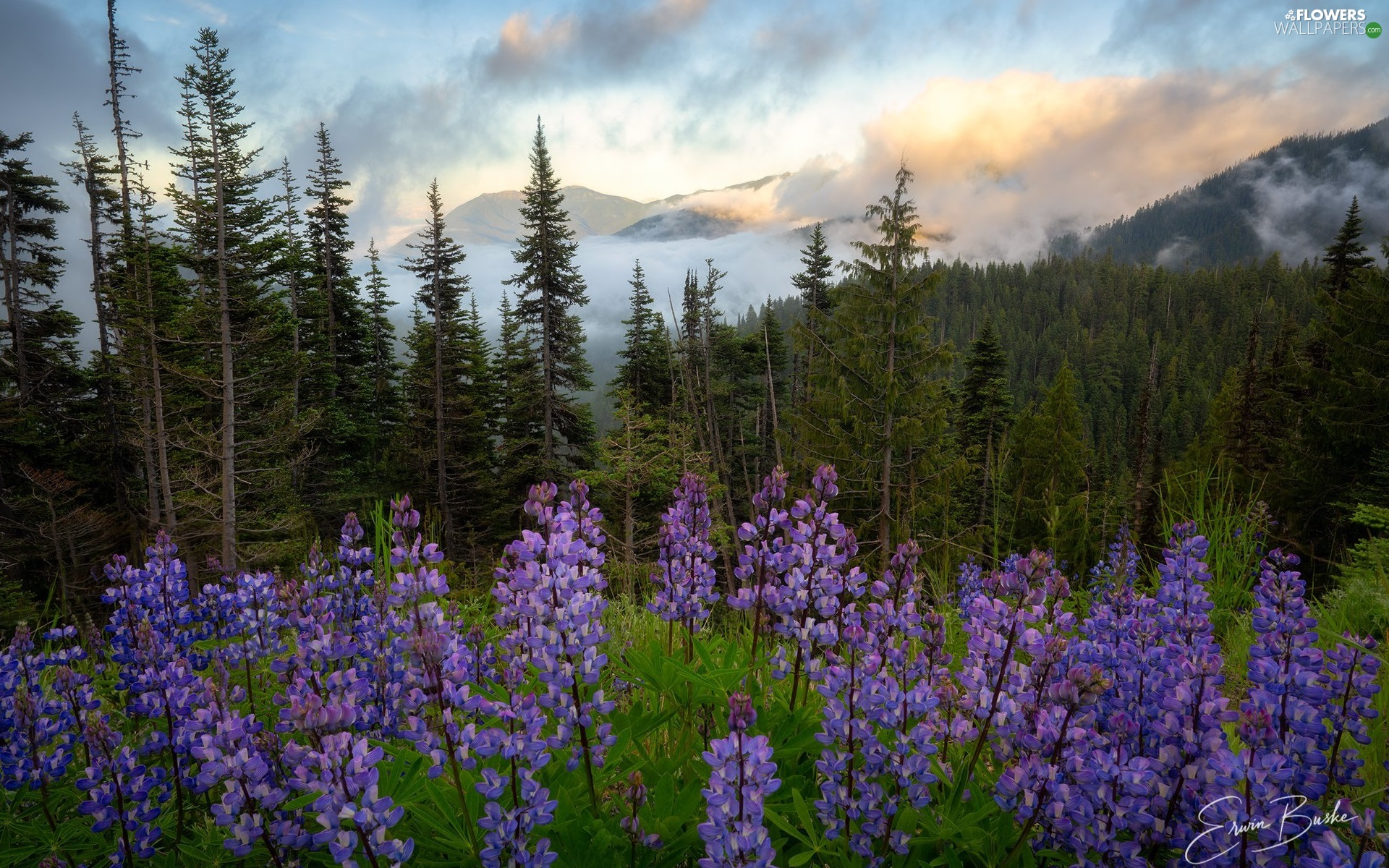 viewes, Washington, Mountains, Fog, forest, The United States, Olympic National Park, clouds, lupine, trees