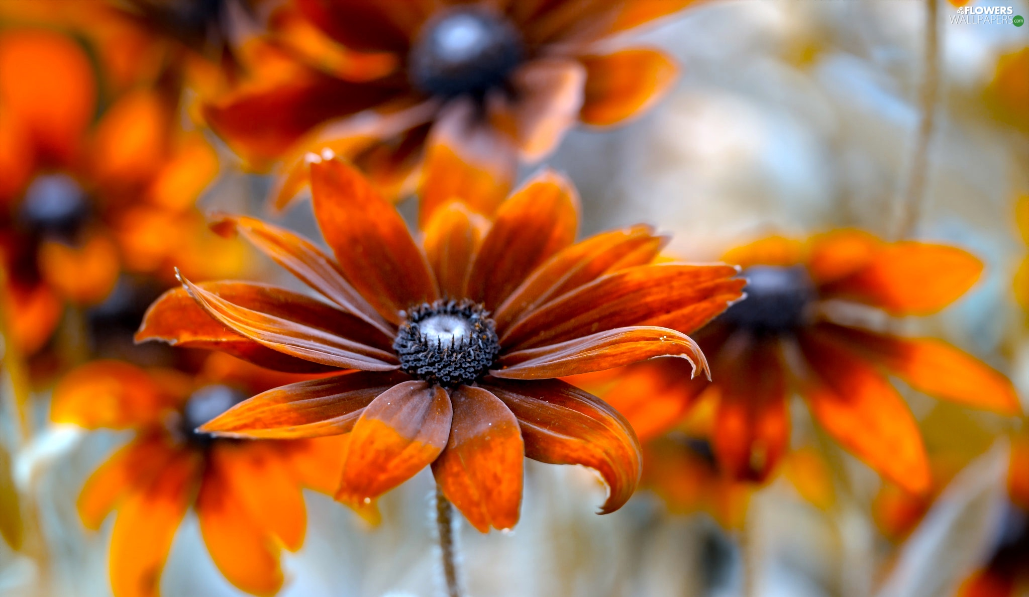 Rudbeckia, Colourfull Flowers, Orange