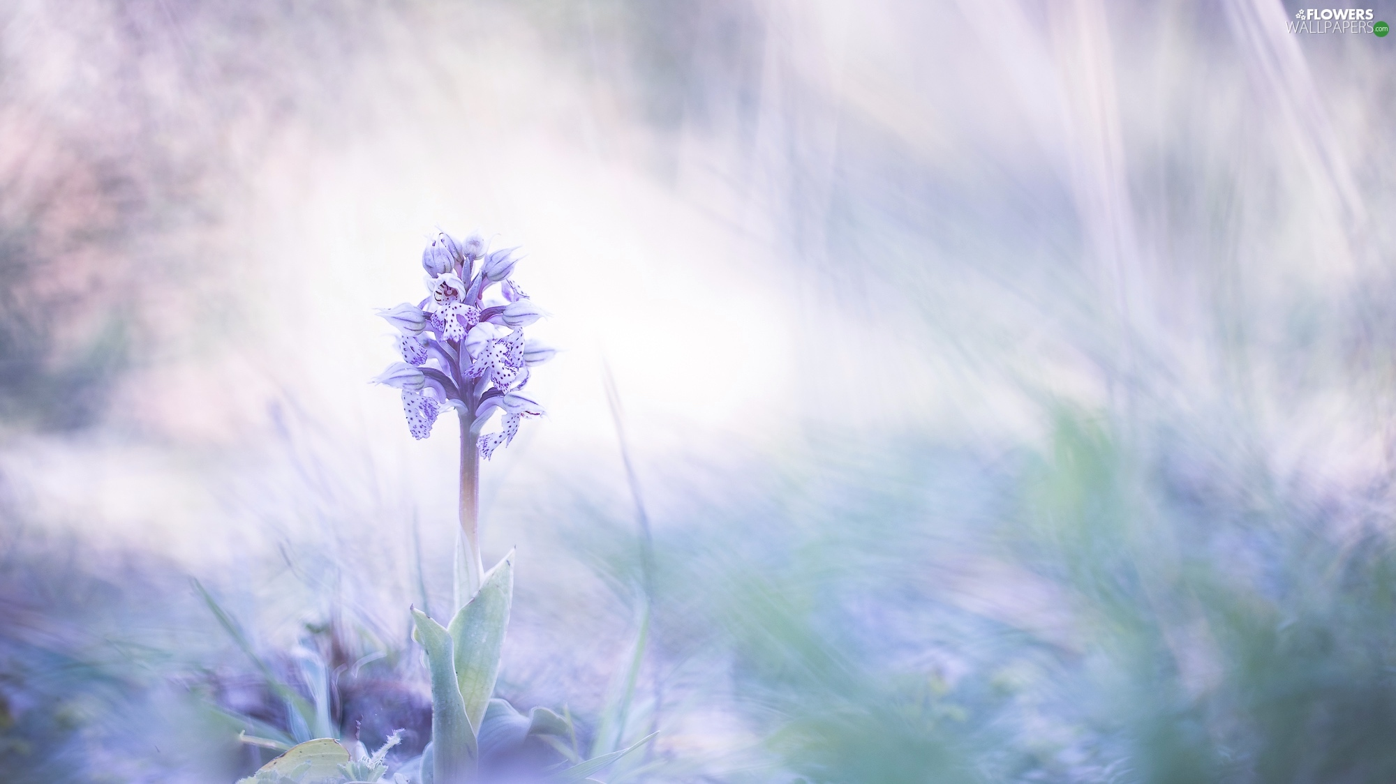 blur, Colourfull Flowers, orchid