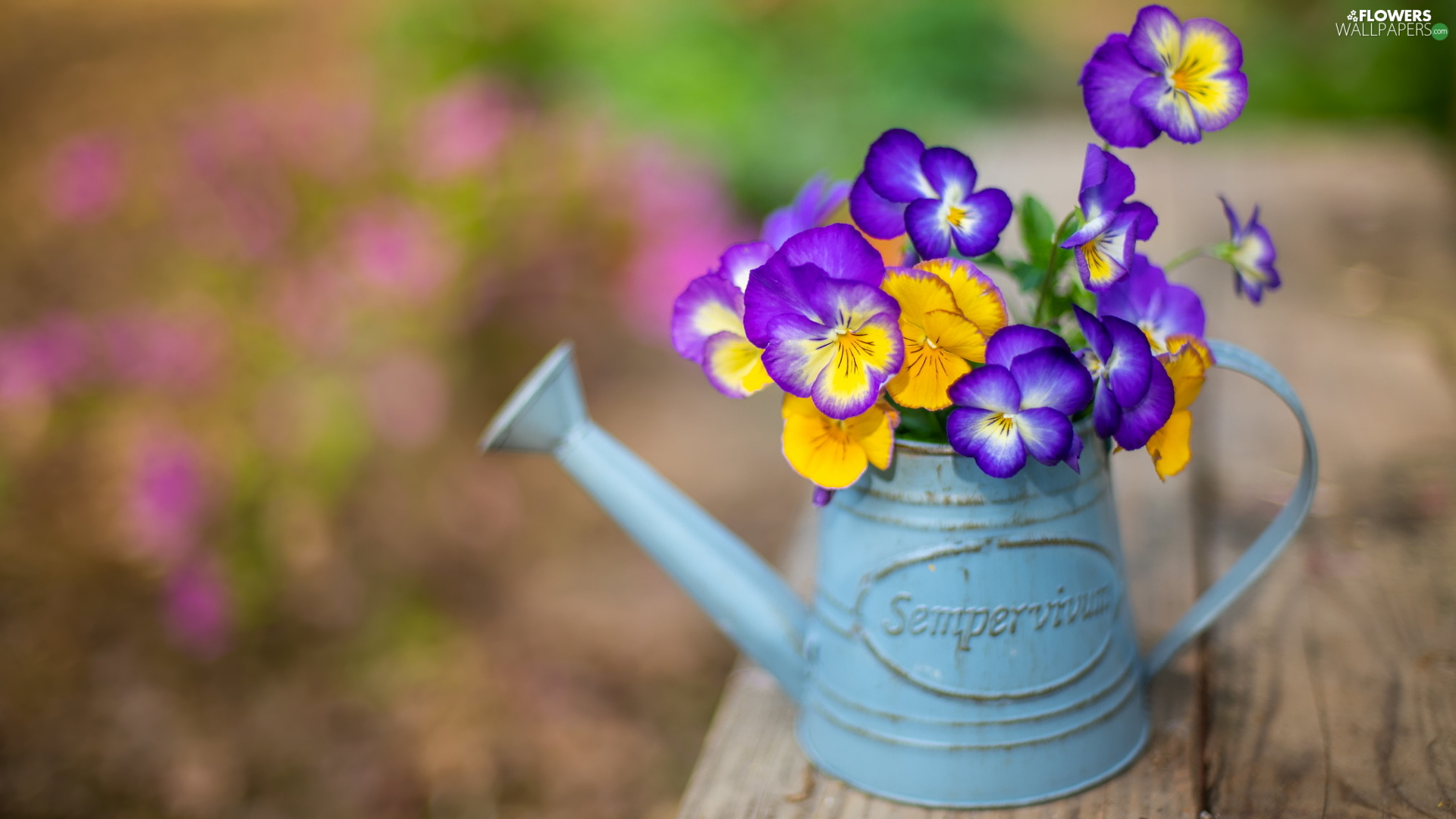 watering can, color, pansies