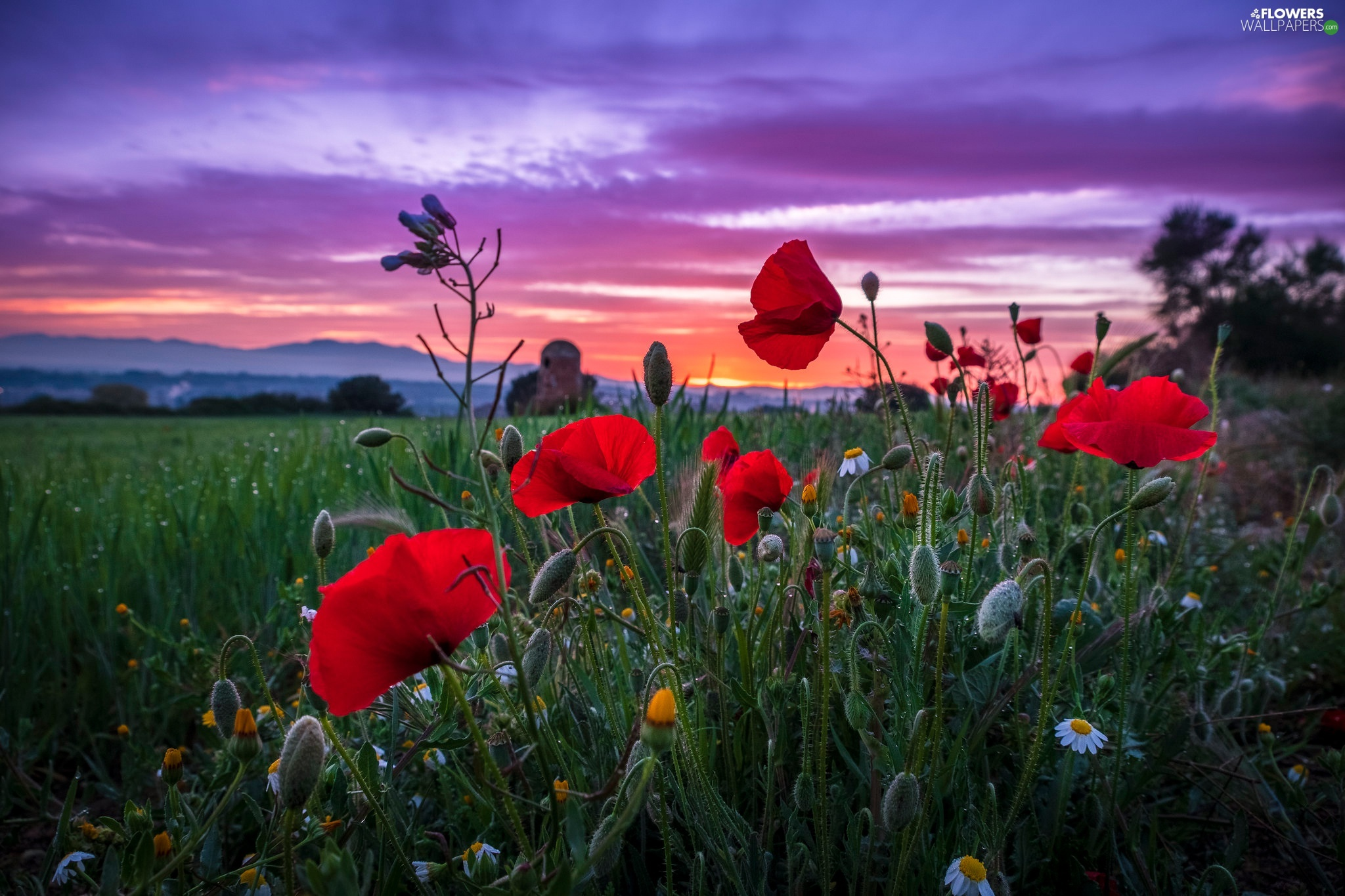Sky, Great Sunsets, papavers, Field, Flowers