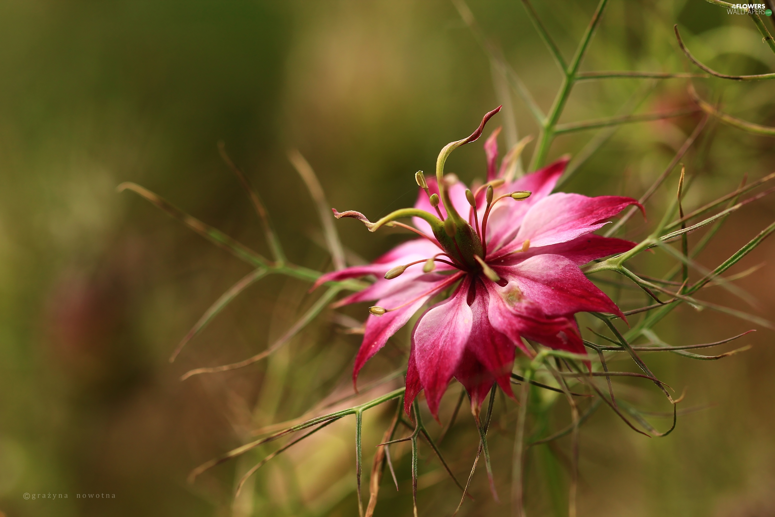 Colourfull Flowers, Nigella, Pink
