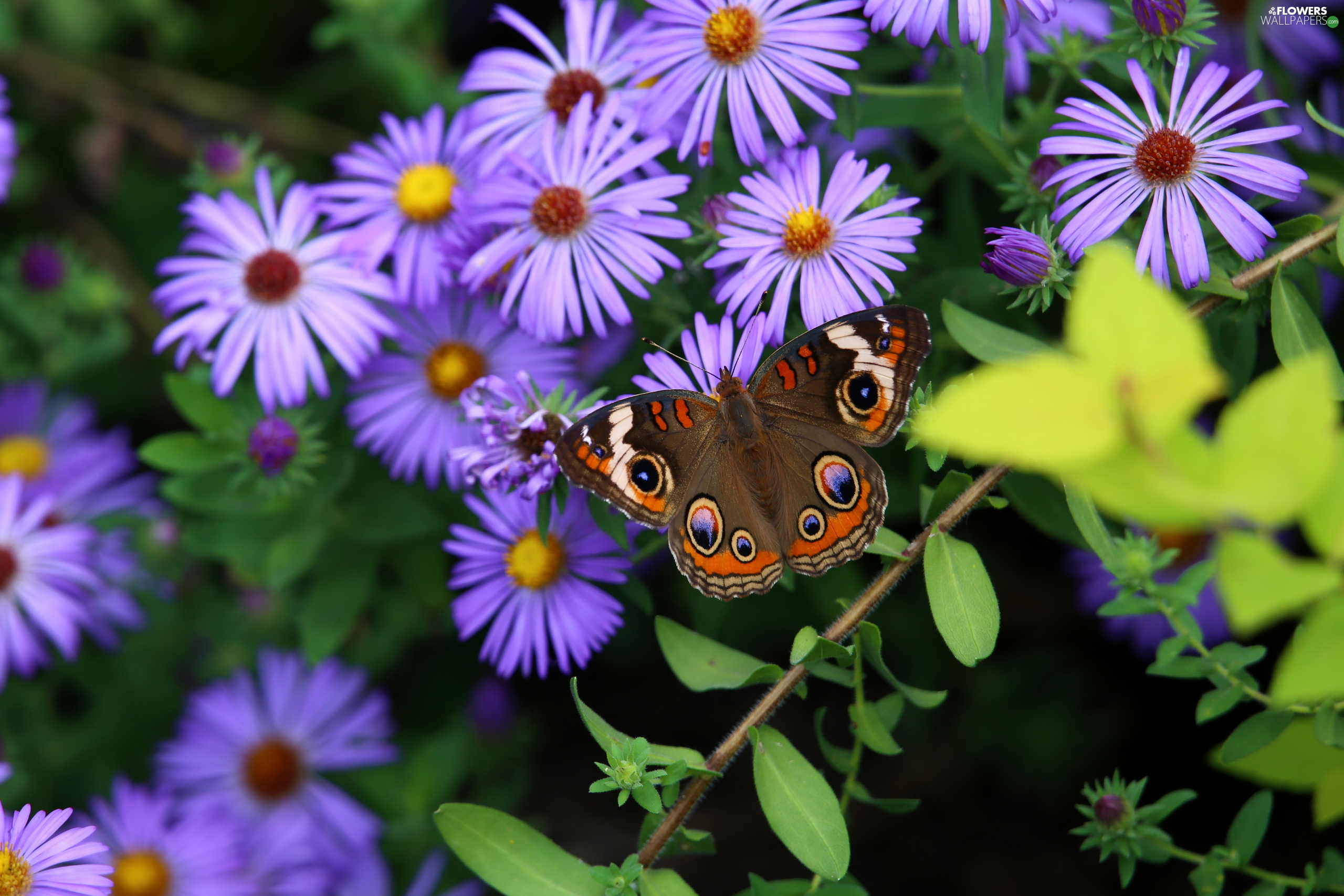 butterfly, Flowers, Astra, purple