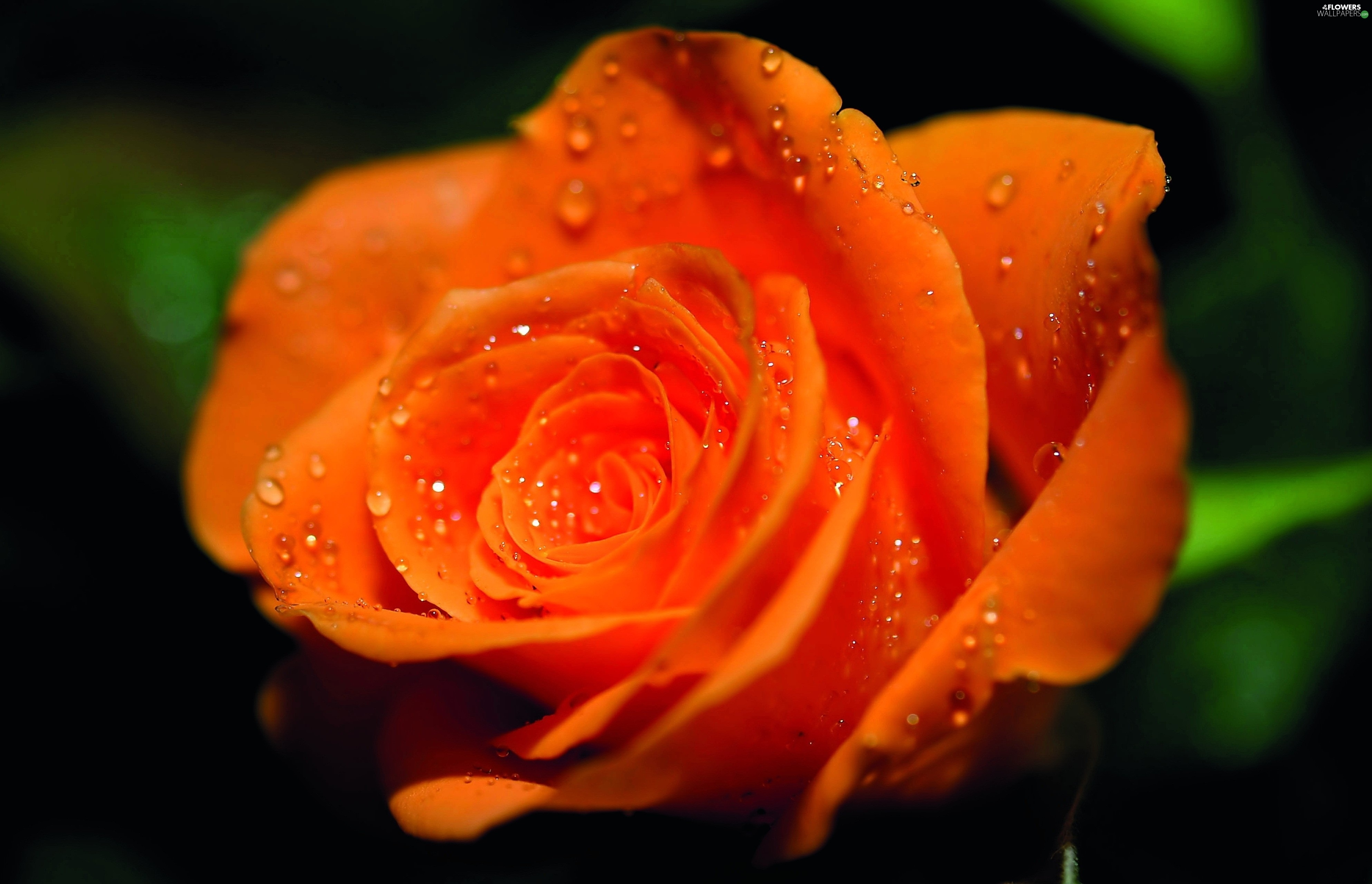 Orange, drops, Rosy, rose