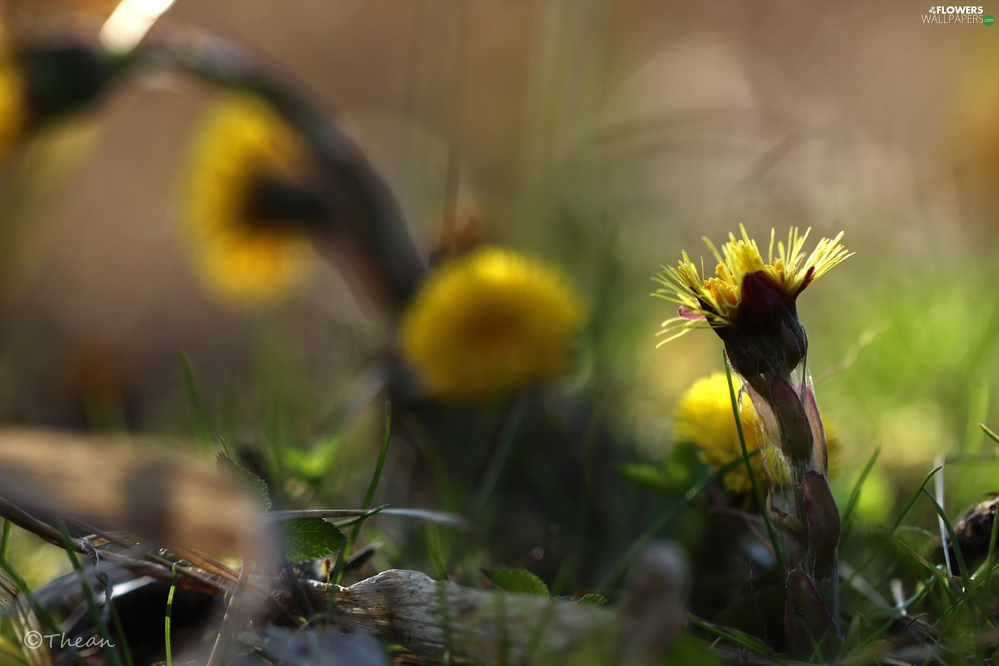 Common Coltsfoot, Flowers, Spring, Yellow