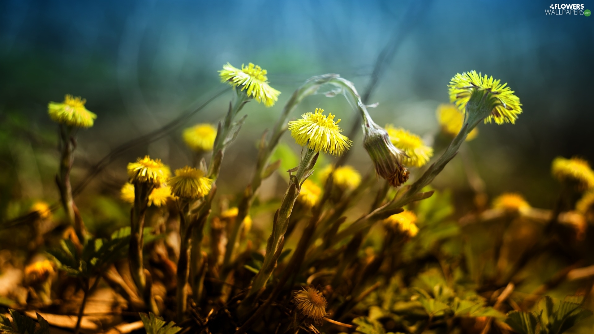 Yellow, Spring, Common Coltsfoot, Flowers
