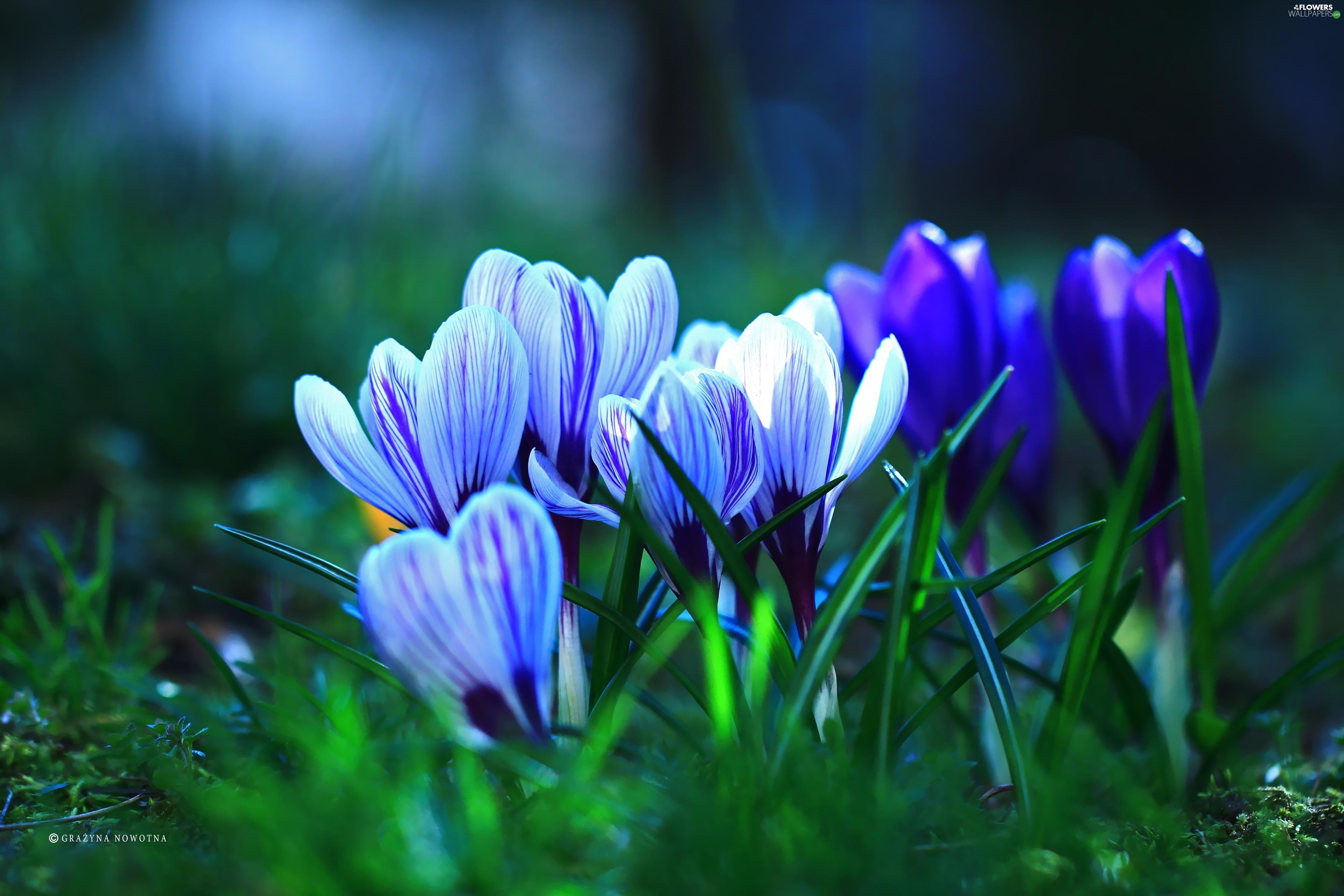 spring  crocuses  flowers