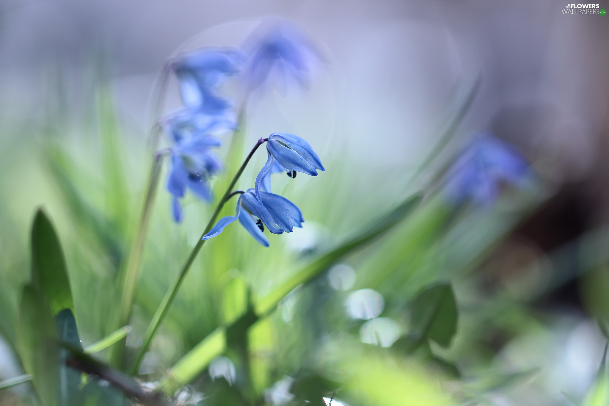 Flowers, Blue, Siberian squill