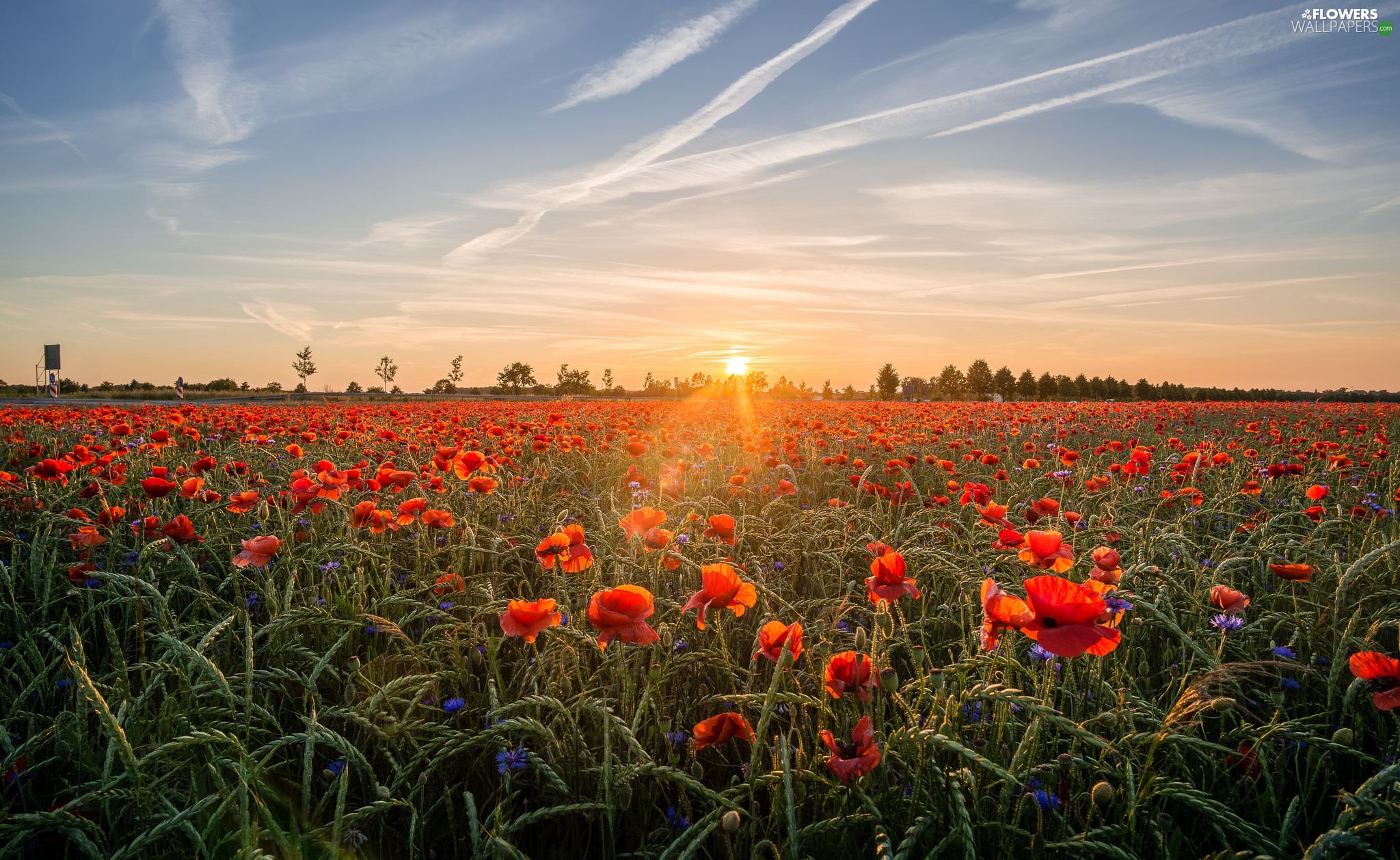 viewes, Sunrise, papavers, trees, Meadow