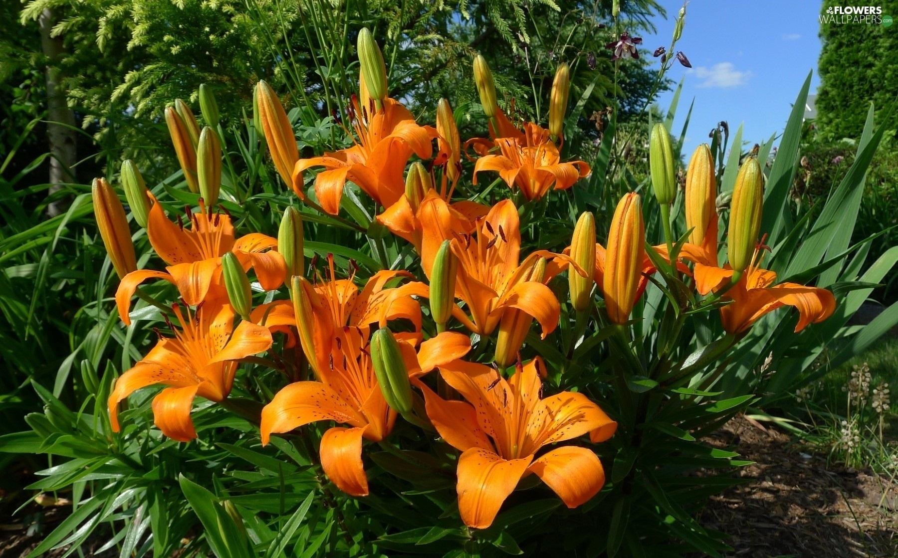 Flowerbed flowers tiger lilies flowers wallpapers 1800x1119 flowerbed flowers tiger lilies izmirmasajfo