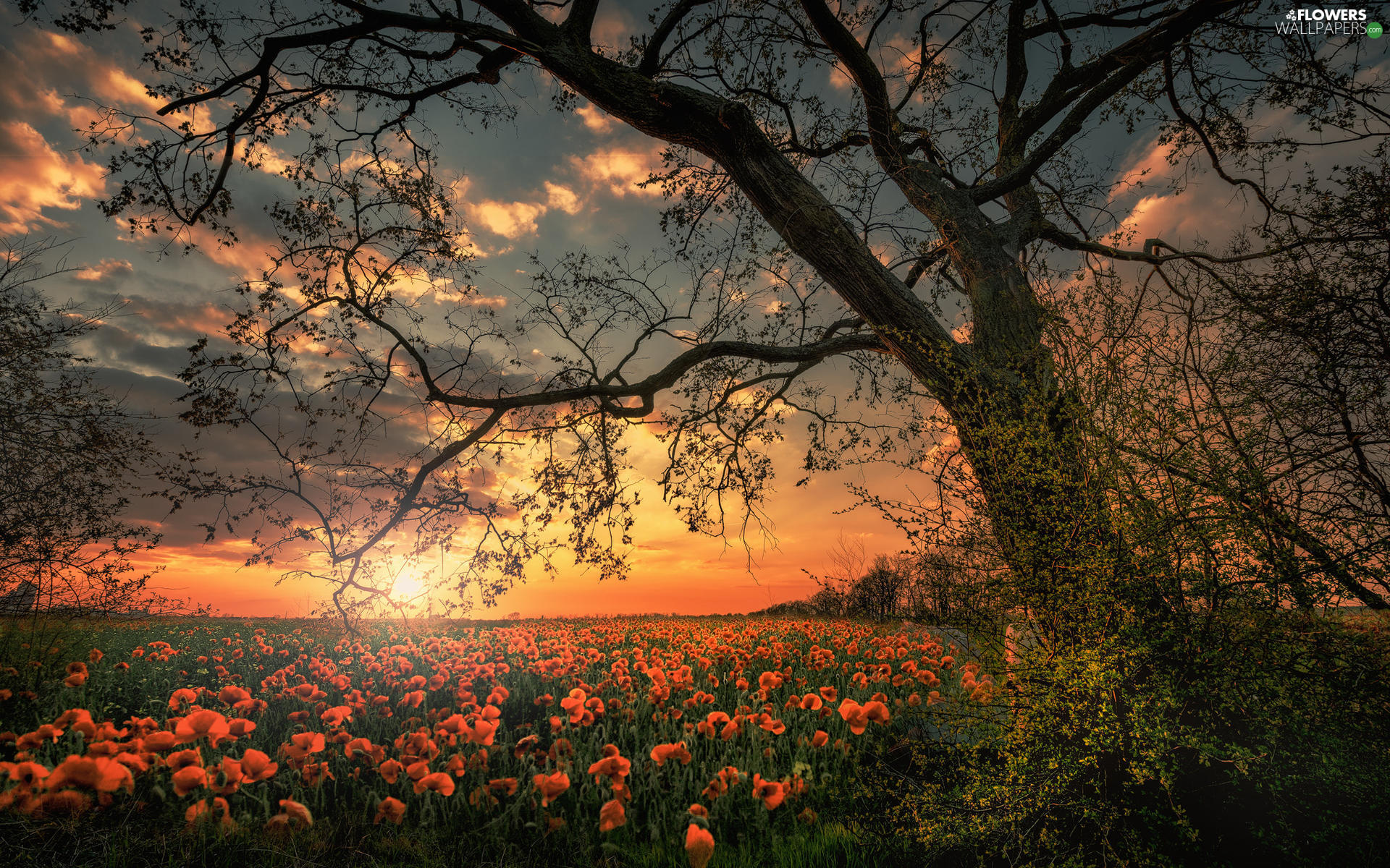 trees, Flowers, clouds, papavers, Field, branch pics, Great Sunsets