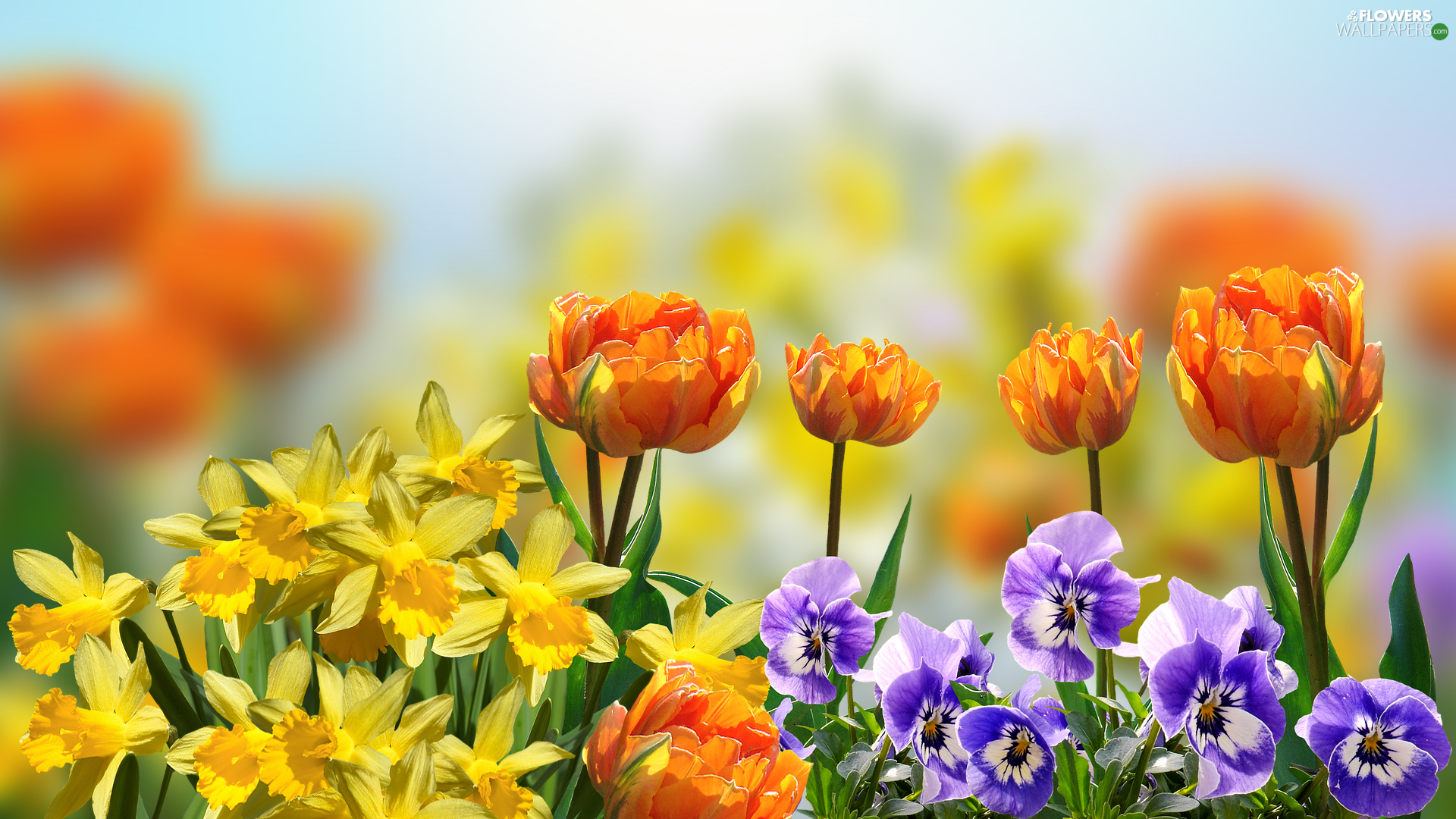 Flowers, pansies, Daffodils, Tulips