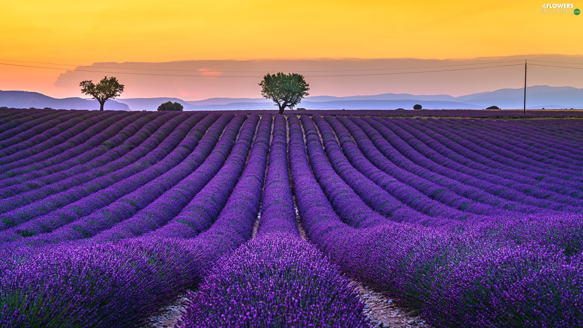 lavender, trees, France, viewes, Provence, Field, Sunrise, Valensole